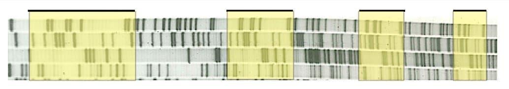 Bandenmuster der CRISPR-Sequenzen, die Francisco Mojica in seinen Archaebakterien entdeckt hat.