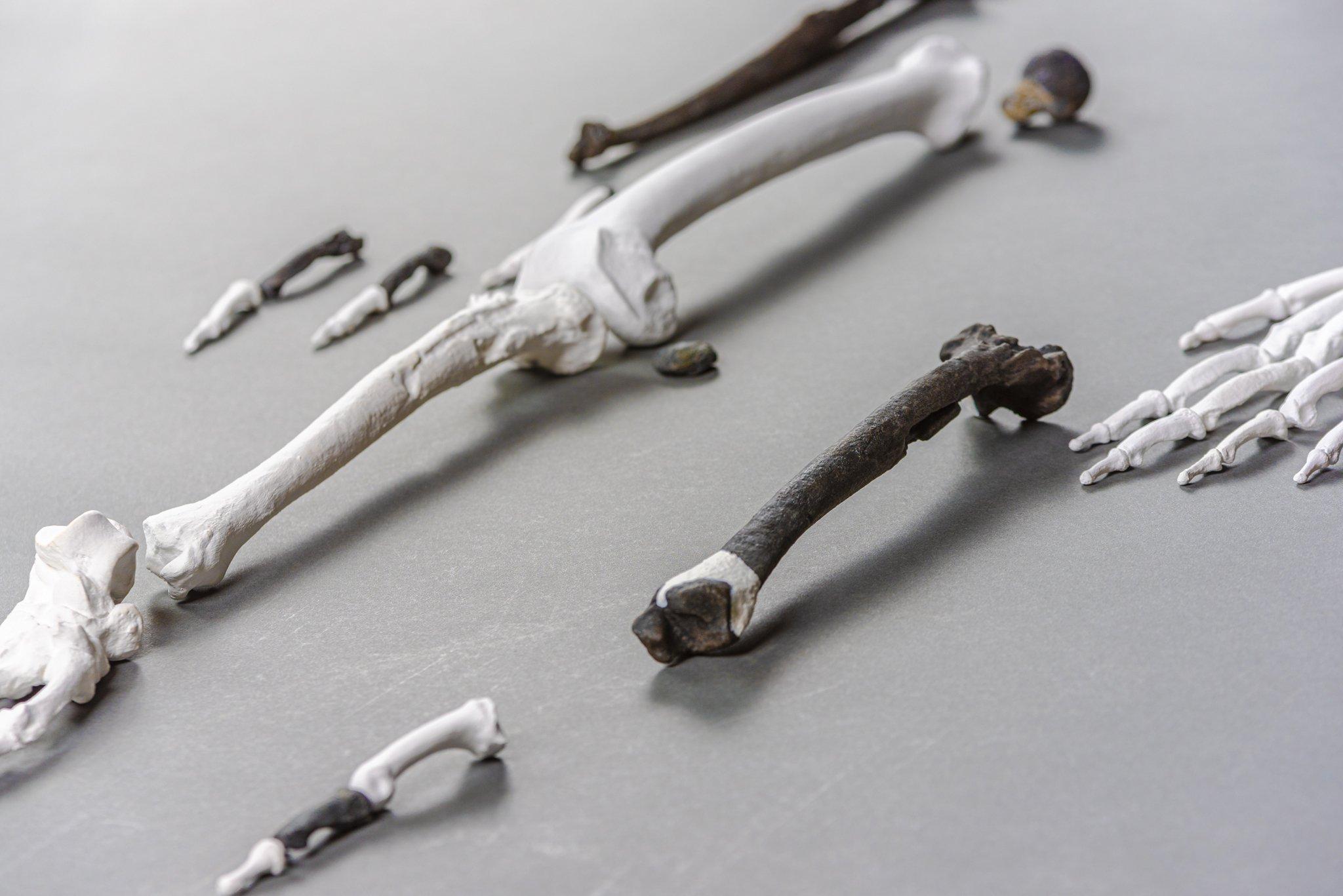 """Das Foto zeigt die Beinknochen von """"Udo"""". Ihre Form weist Ähnlichkeiten zu denen des Menschen auf. Es ist ein weiterer Hinweis auf die aufrechte Körperhaltung des uralten Menschenaffen."""