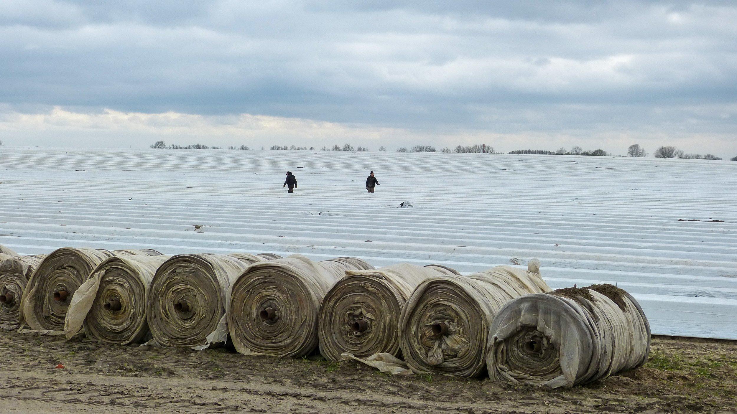 Im Vordergrund stehen schulterhohe Rollen mit Folienbahnen, wie sie die schnurgeraden Spargelwälle auf dem Feld dahinter bedecken. Zwei Menschen stehen in der Ferne zwischen den weißen Reihen.