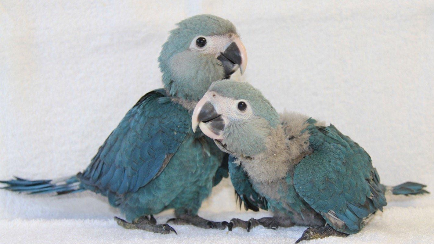 Foto von zwei blauen Vögeln (Spix-Aras) vermehrt.