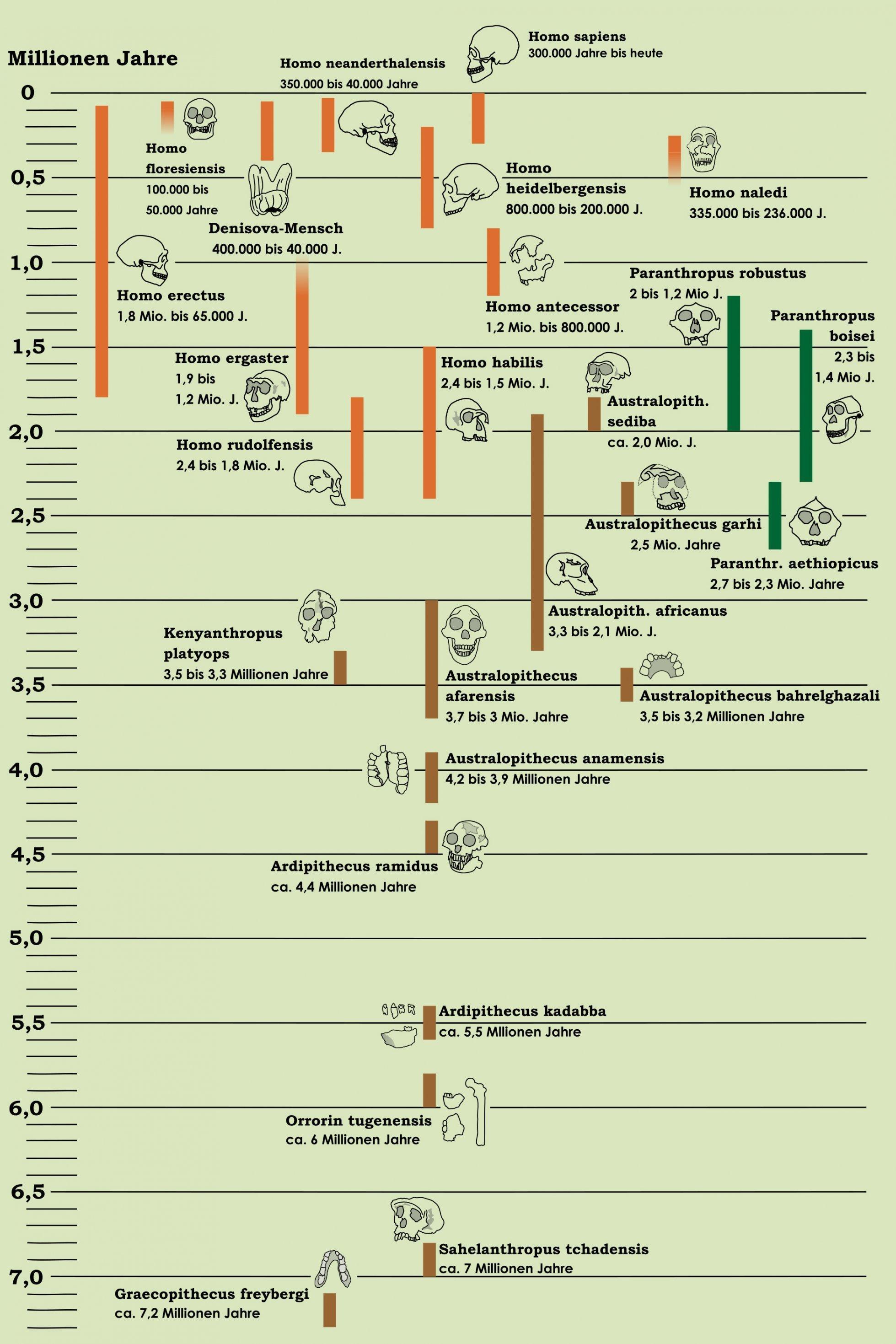 Die Grafik bietet eine Übersicht über die bislang bekannten Urmenschen und menschlichen Ahnen. Sie ist als Stammbaum der Menschheit vor hellgrünem Hintergrund angelegt und die verschiedenen Ahnen sind als Strichzeichnungen der gefundenen Fossilien – meist Schädel – dargestellt. In der Senkrechten verläuft die Zeitebene, die oben mit der Gegenwart beginnt und unten bei rund sieben Millionen Jahren endet. Senkrechte Balkendarstellungen neben den Fossilien geben zudem an, von wann bis wann eine Art existiert hat.