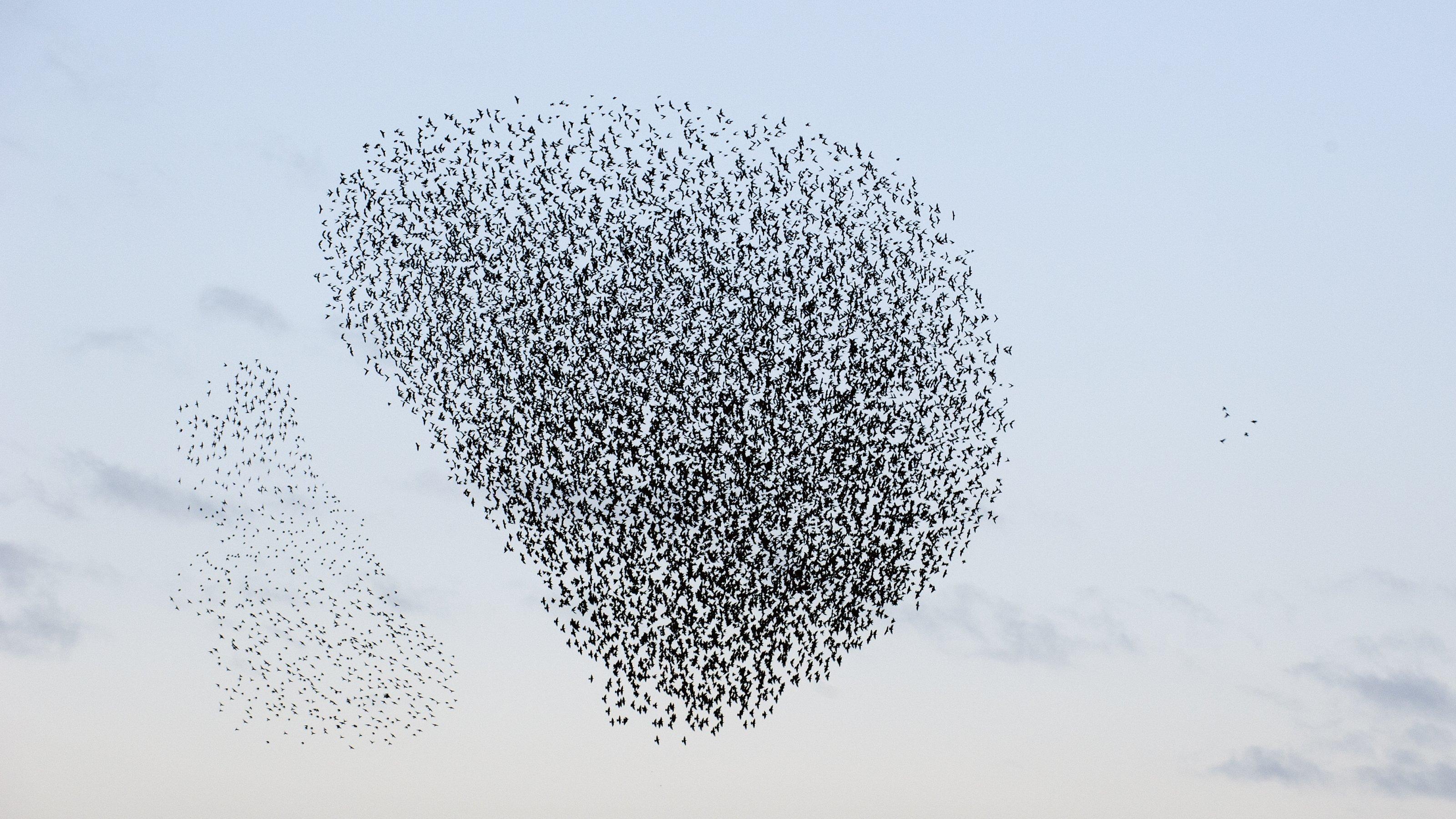 Ein Schwarm Stare in einer Art Wolke von Vögeln, aber die Wolke ist durchtrennt, weil ein Greifvogel attackiert.