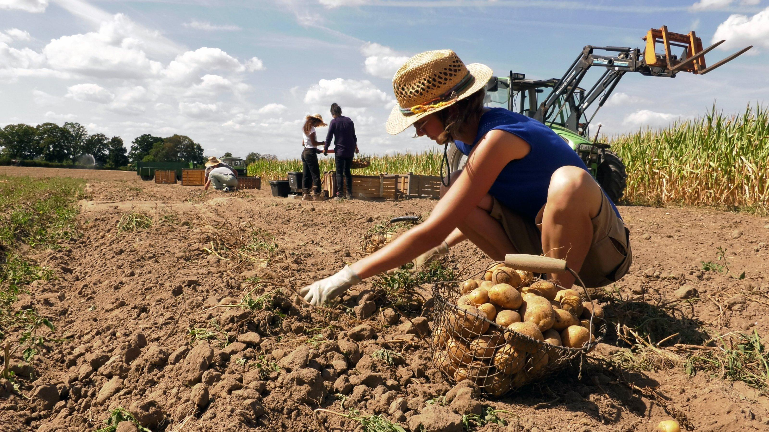 Wissenschaftlerinnen ernten und wiegen Kartoffeln auf einem Versuchsfeld
