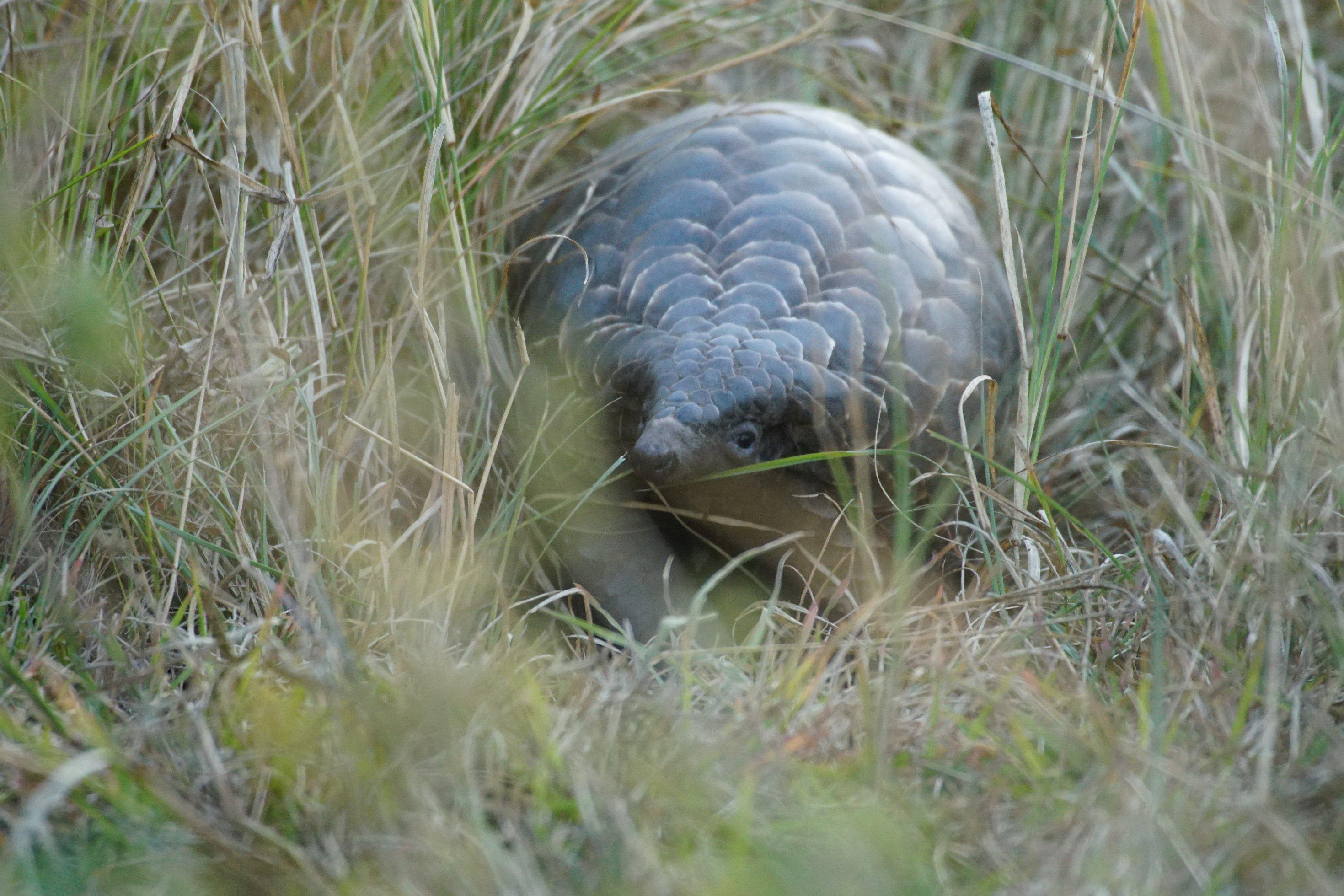 Ein Pangolin schaut aus dem langen Gras in Phinda, wo es ausgewildert werden soll