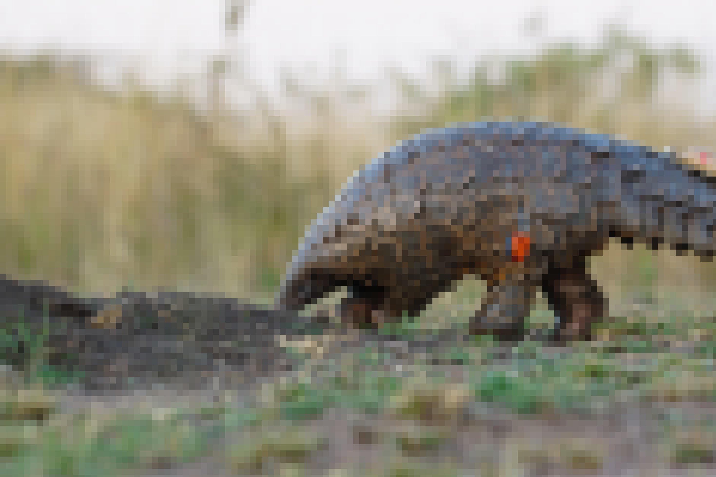 Pangolin Giya hat die Nase am Boden, auf der Suche nach Ameisen
