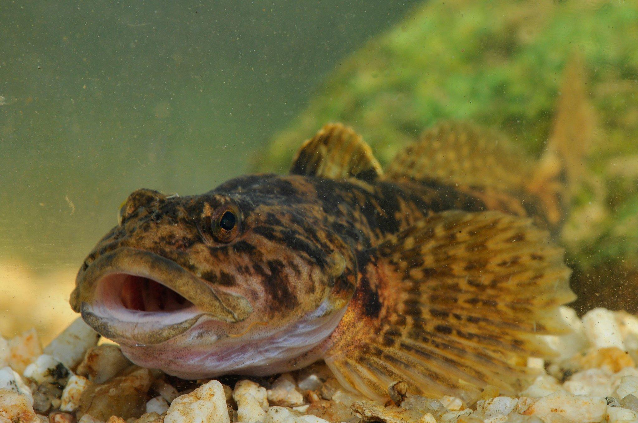 Ein Fisch der Art Koppe mit offenem Maul im Fluss auf Kiesgrund.