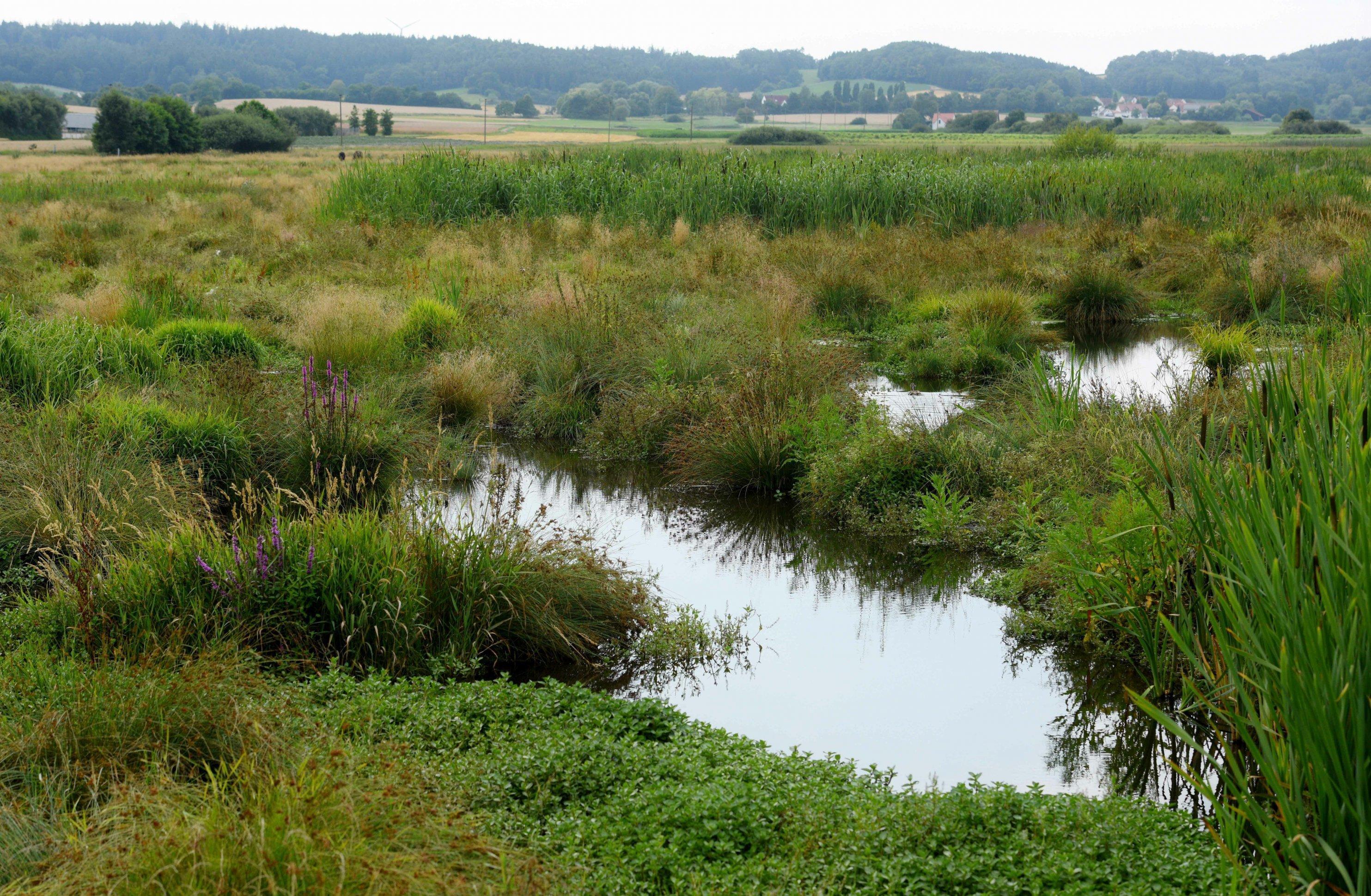 Tümpel in einem Feuchtbiotop sind umgeben von Gras- und Schilf.