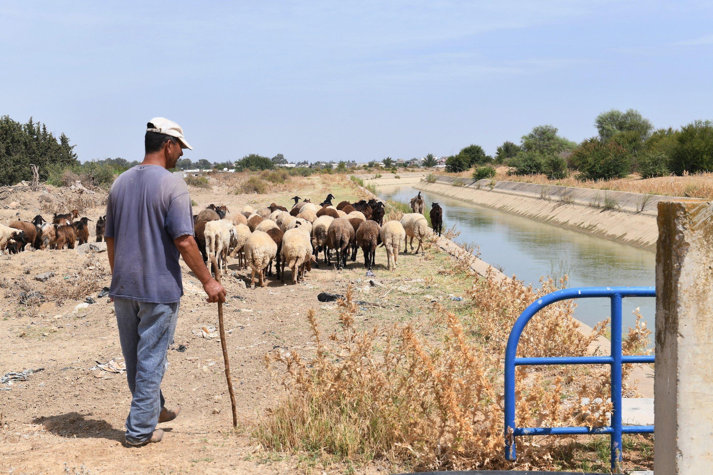 Hirte mit Schafherde in Rückenansicht am Rande eines Kanals