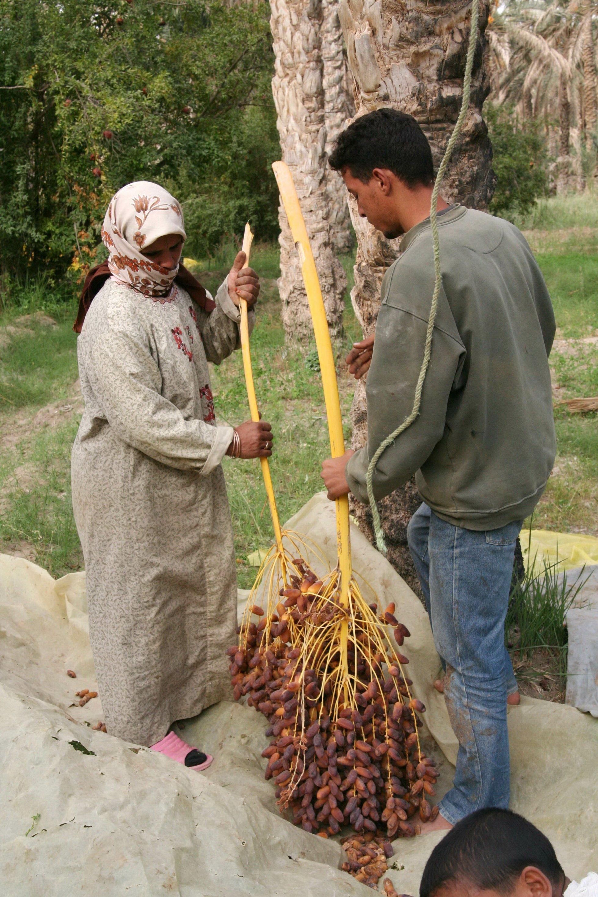 Ein Mann und eine Frau halten einen gerade geernteten Strunk mit Datteln in der Hand.