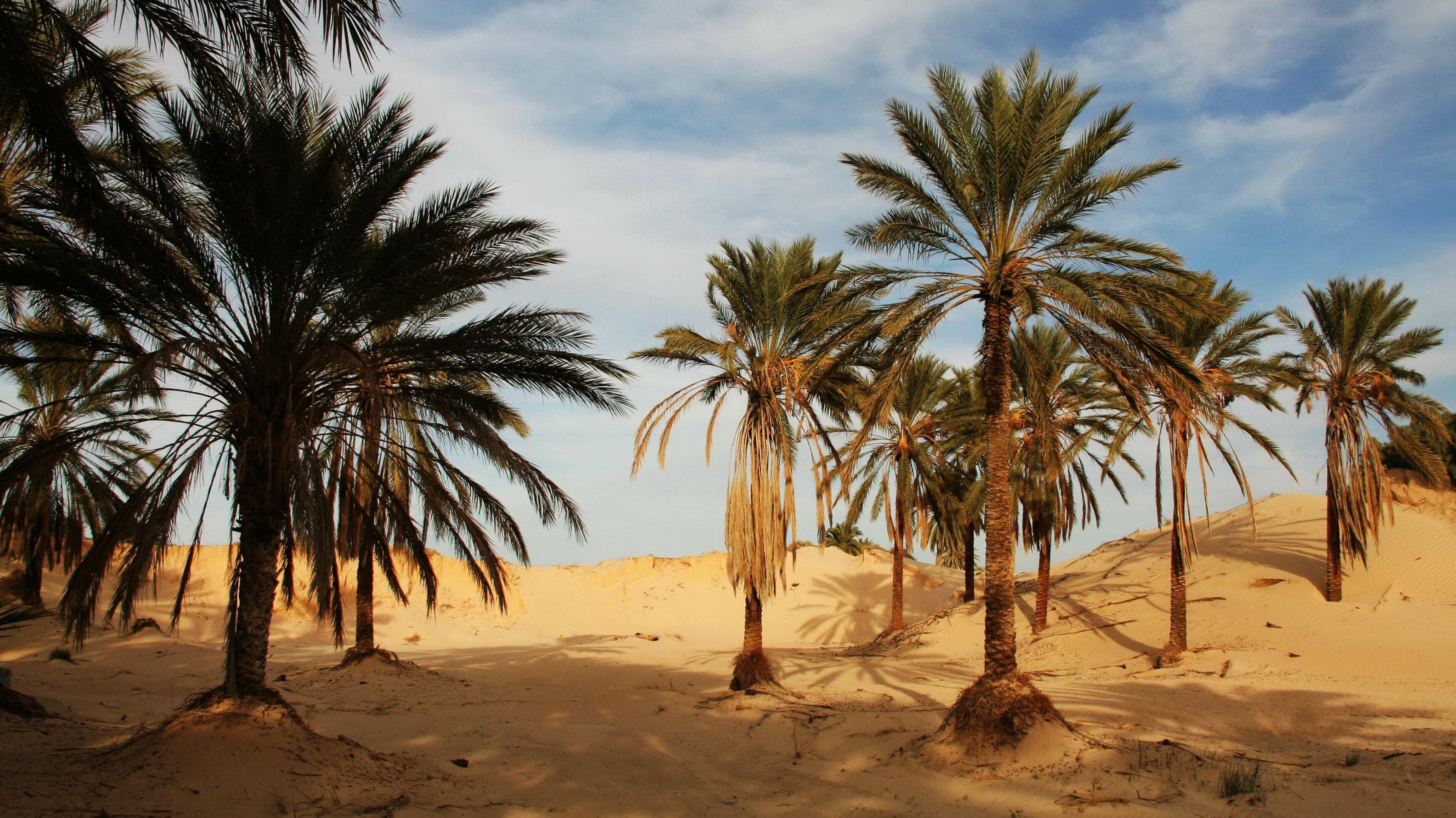 Dattelpalmen stehen in der Wüste