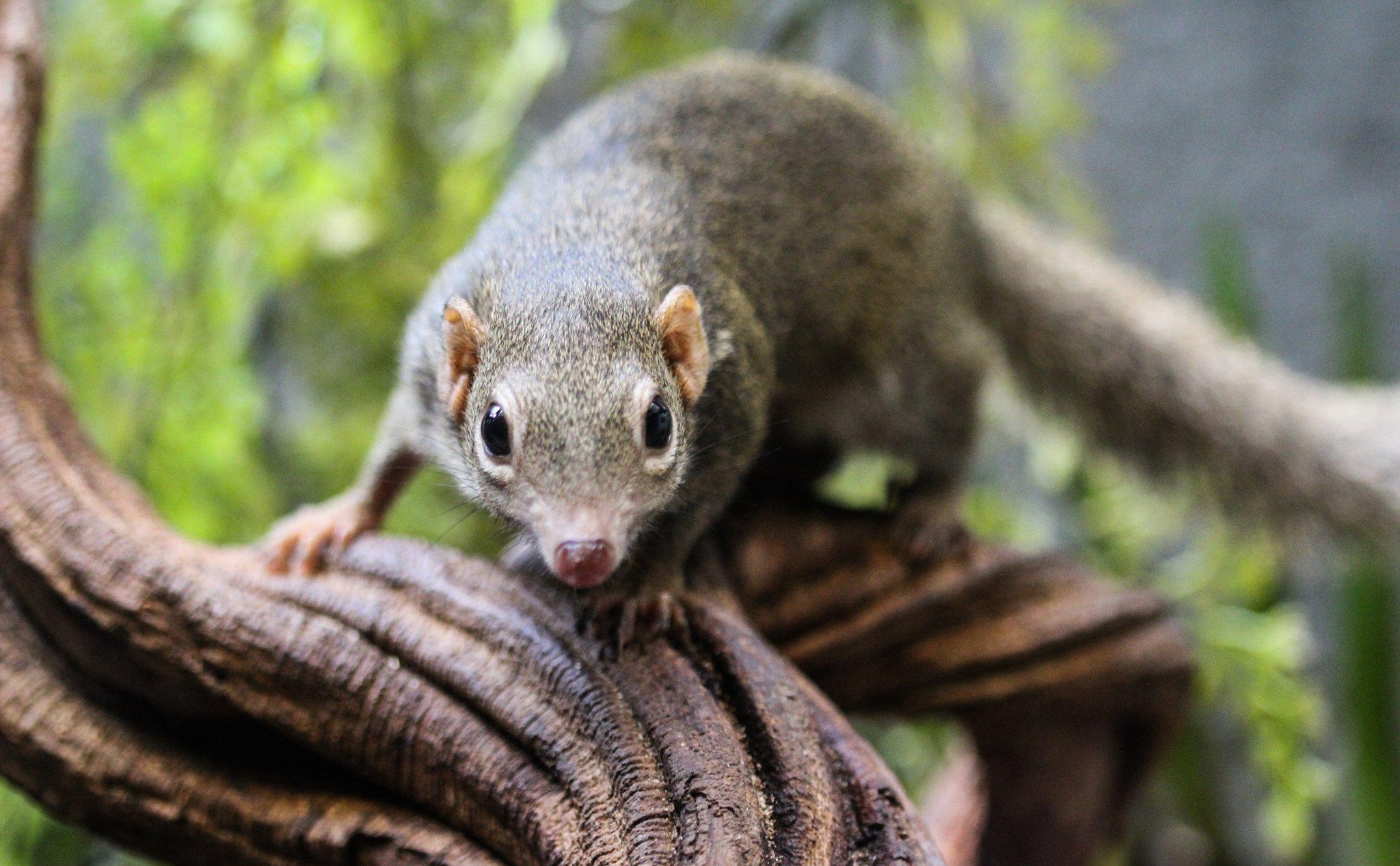 Ein Spitzhörnchen – das ein wenig aussieht wie eine Mischung zwischen grauem Eichhörnchen und Ratte – ist auf dem knorrigen Ast eines Baumes zu sehen und blickt mit seinen großen, seitlich am Kopf sitzenden Augen in die Kamera. So ähnlich wie dieses, auch Tupaia genannte Tier könnten die ersten Vertreter der Primaten vor mehr als 65Millionen Jahren ausgesehen haben.