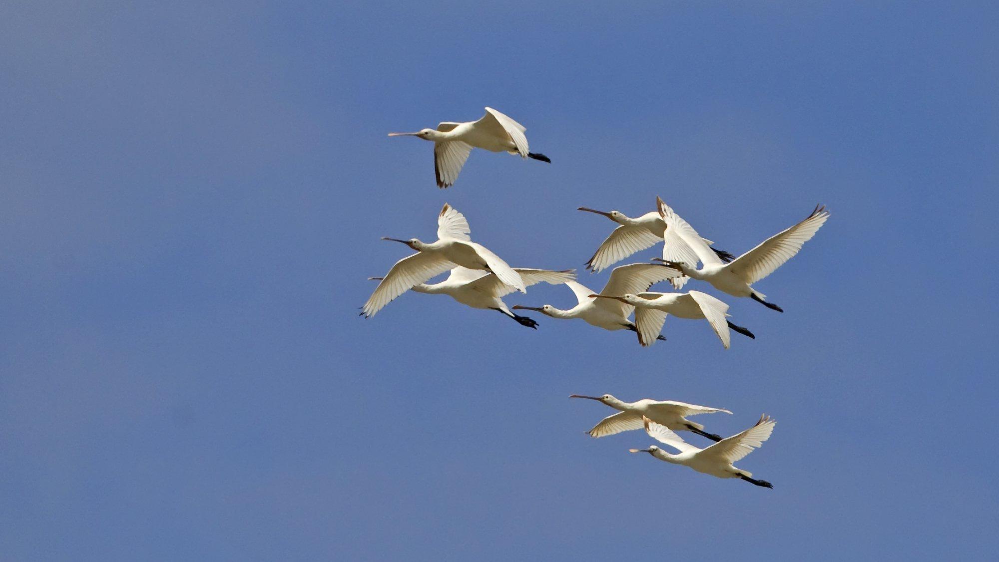 Das Bild zeigt eine Gruppe von Löfflern im Überflug. Die großen weißen Vögel haben lange Schnäbel mit einer breiten Spitze.