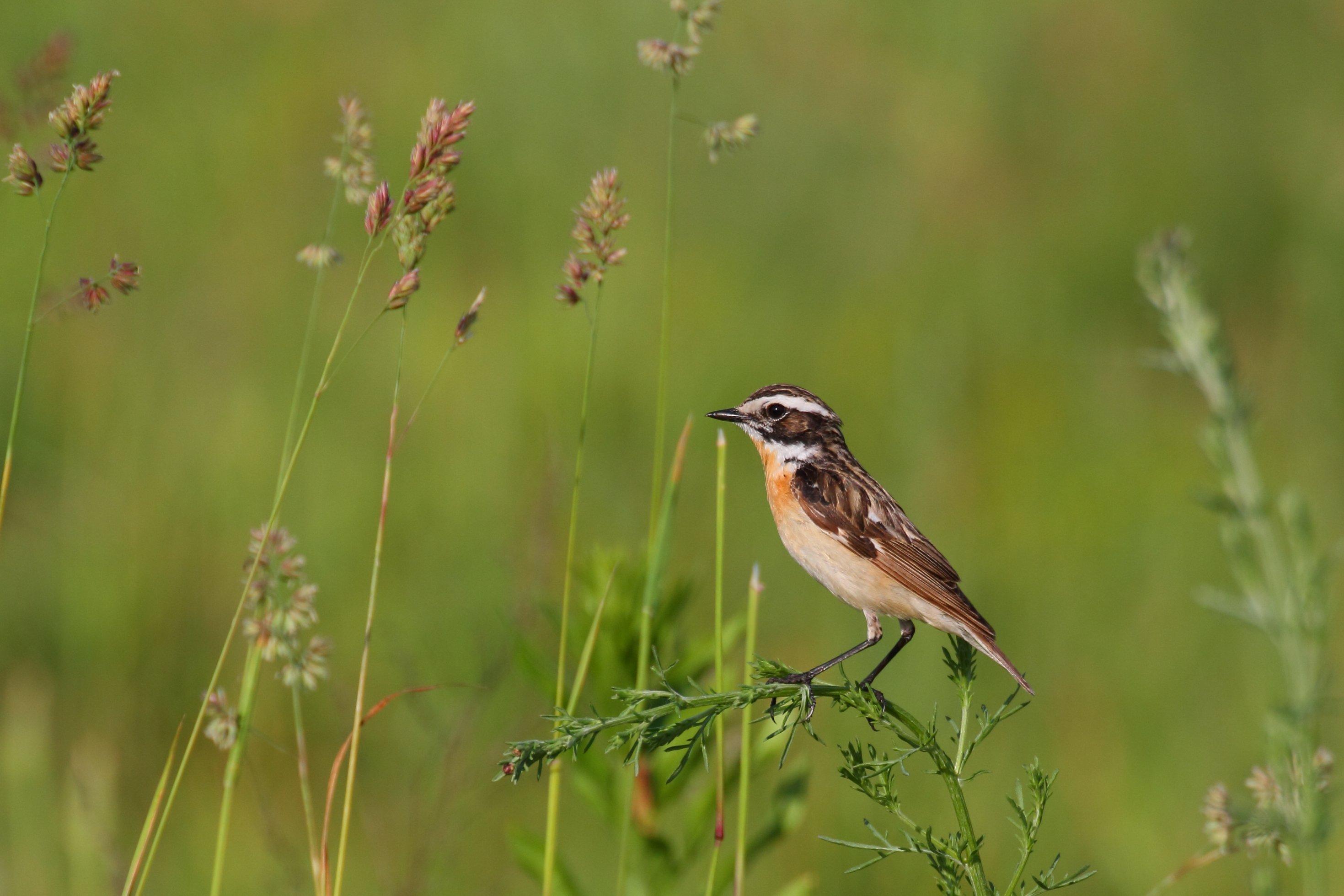 Ein Vogel sitzt auf einem Grashalm. Es handelt sich um ein Braunkehlchen. Diese Vogelart ist im Schwinden begriffen, weil ihr Lebensraum zerstört wird.