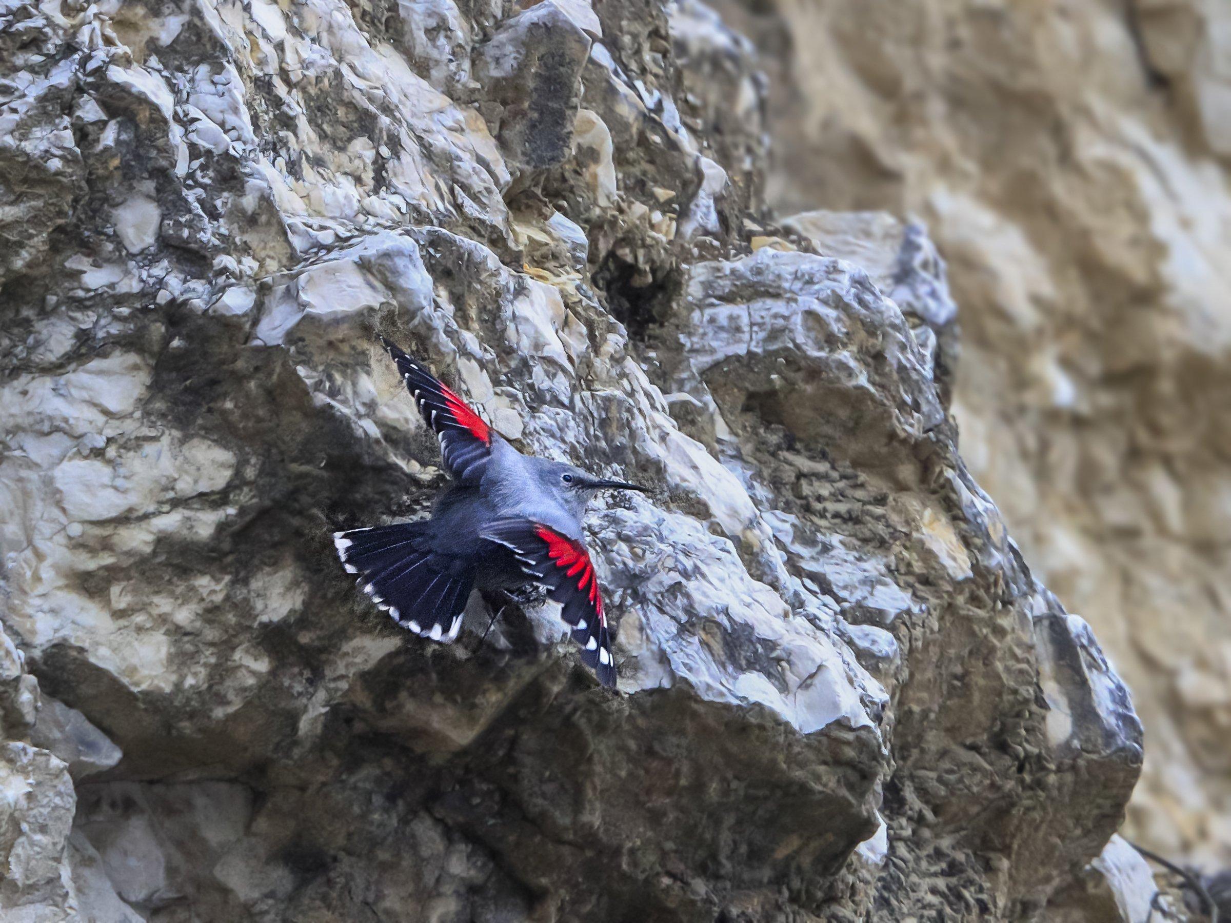 Der Mauerläufer (Tichodroma muraria) an einer Felswand.
