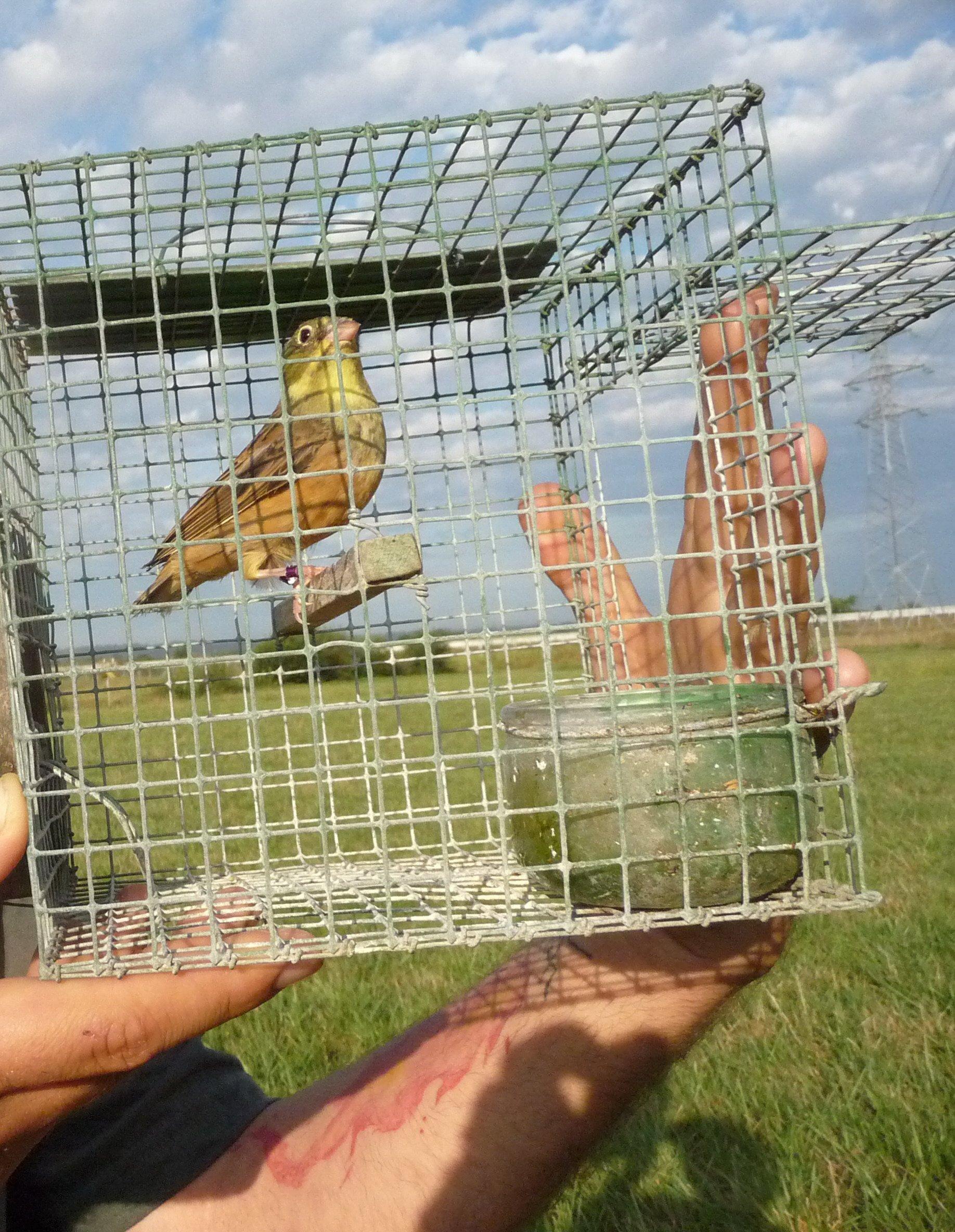 Ein illegal gefangener Ortolan kurz vor seiner Freilassung durch einen Vogelschützer.