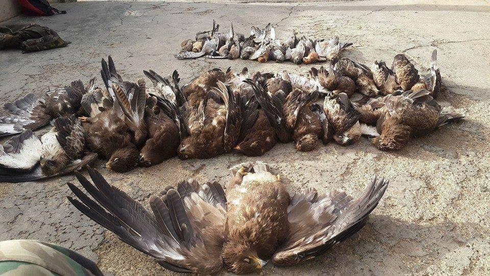 Eine Gruppe toter, gewilderter Schreiadler