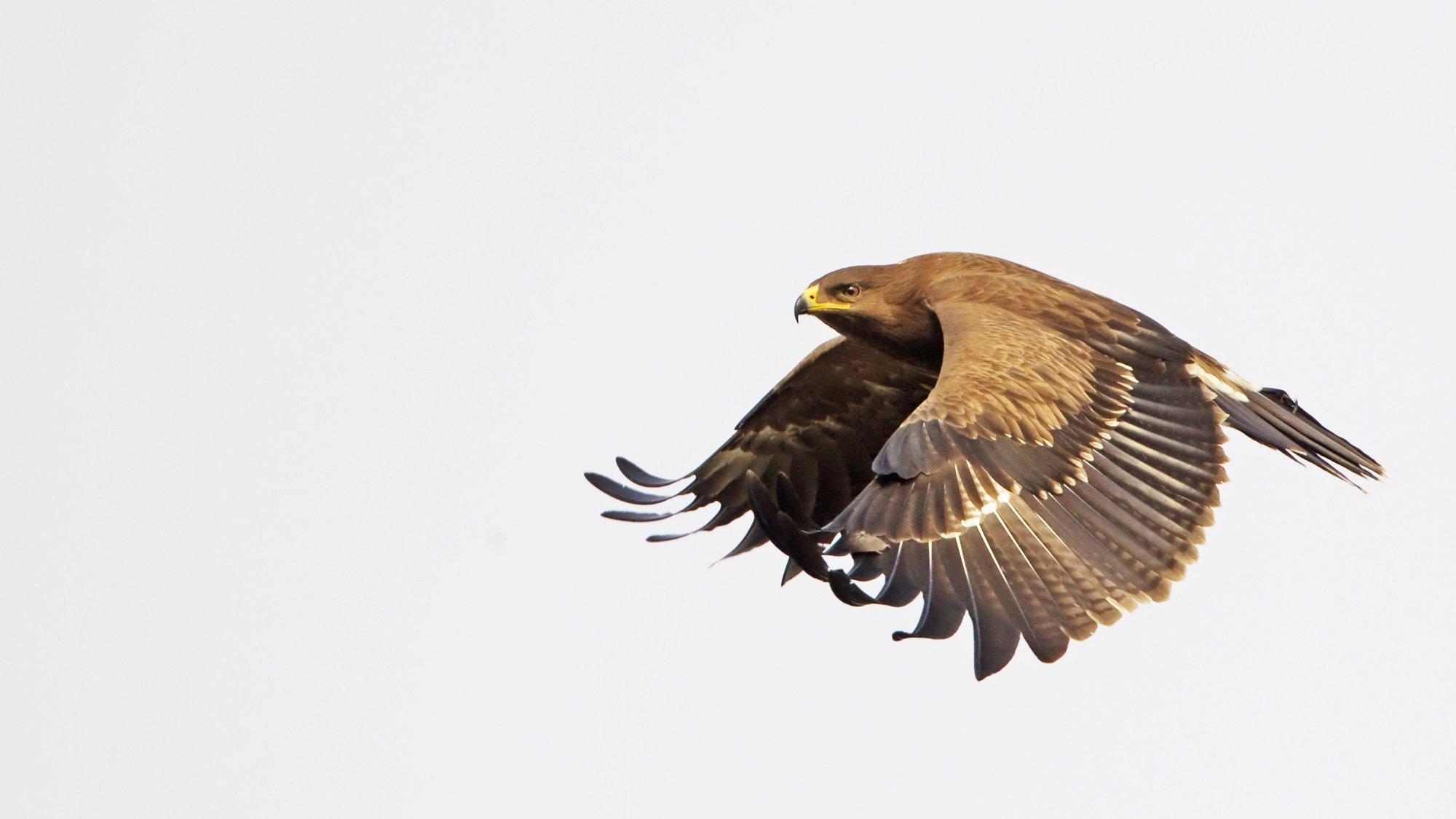 Ein fliegender junger Schreiadler