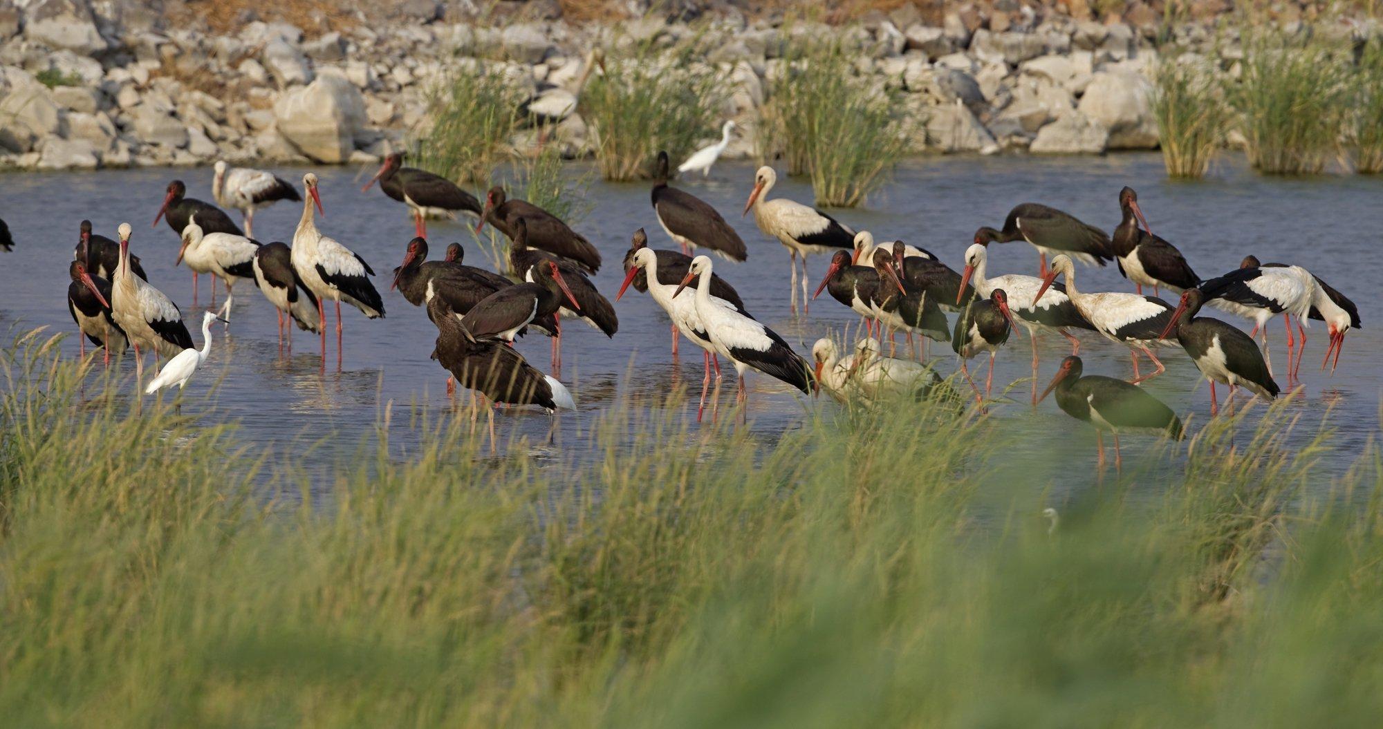 Schwarz- und Weißstörche stehen zusammen an einem Teich in Israel