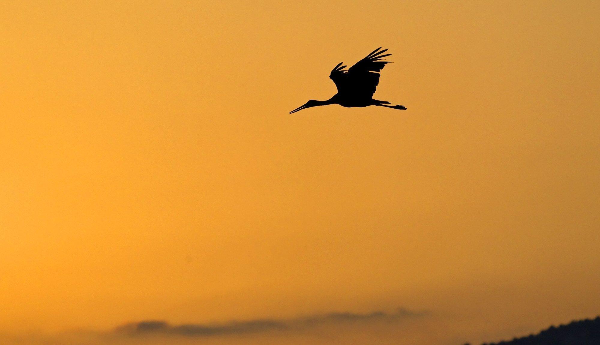 Ein Schwarzstorch fliegt im Abendrot