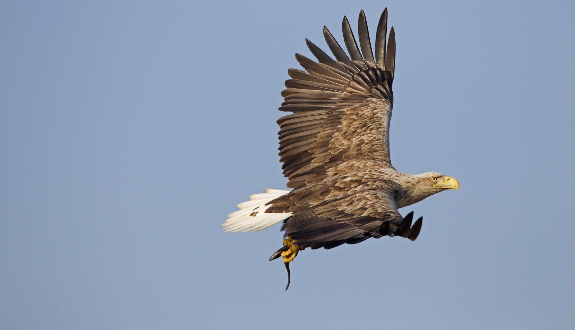 Ein fliegender Seeadler mit weit ausgebreiteten Schwingen