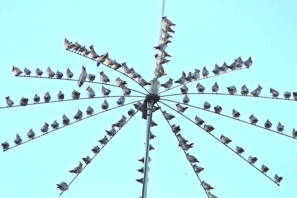 Eine Gruppe Seidenschwänze rastet auf einer Antenne.