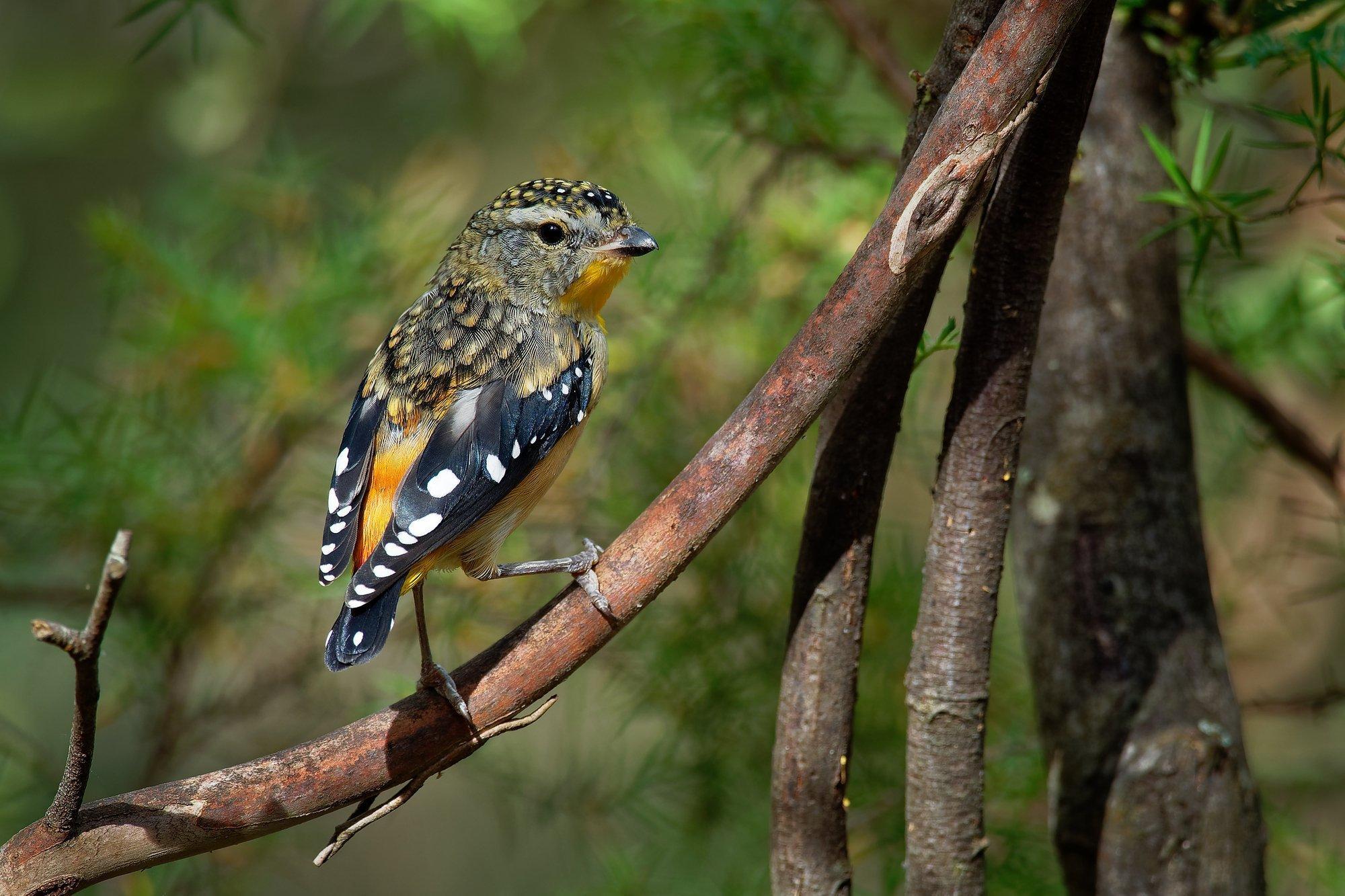 Ein Fleckenpanthervogel (Pardalotus punctatus) sitzt auf einem Ast.
