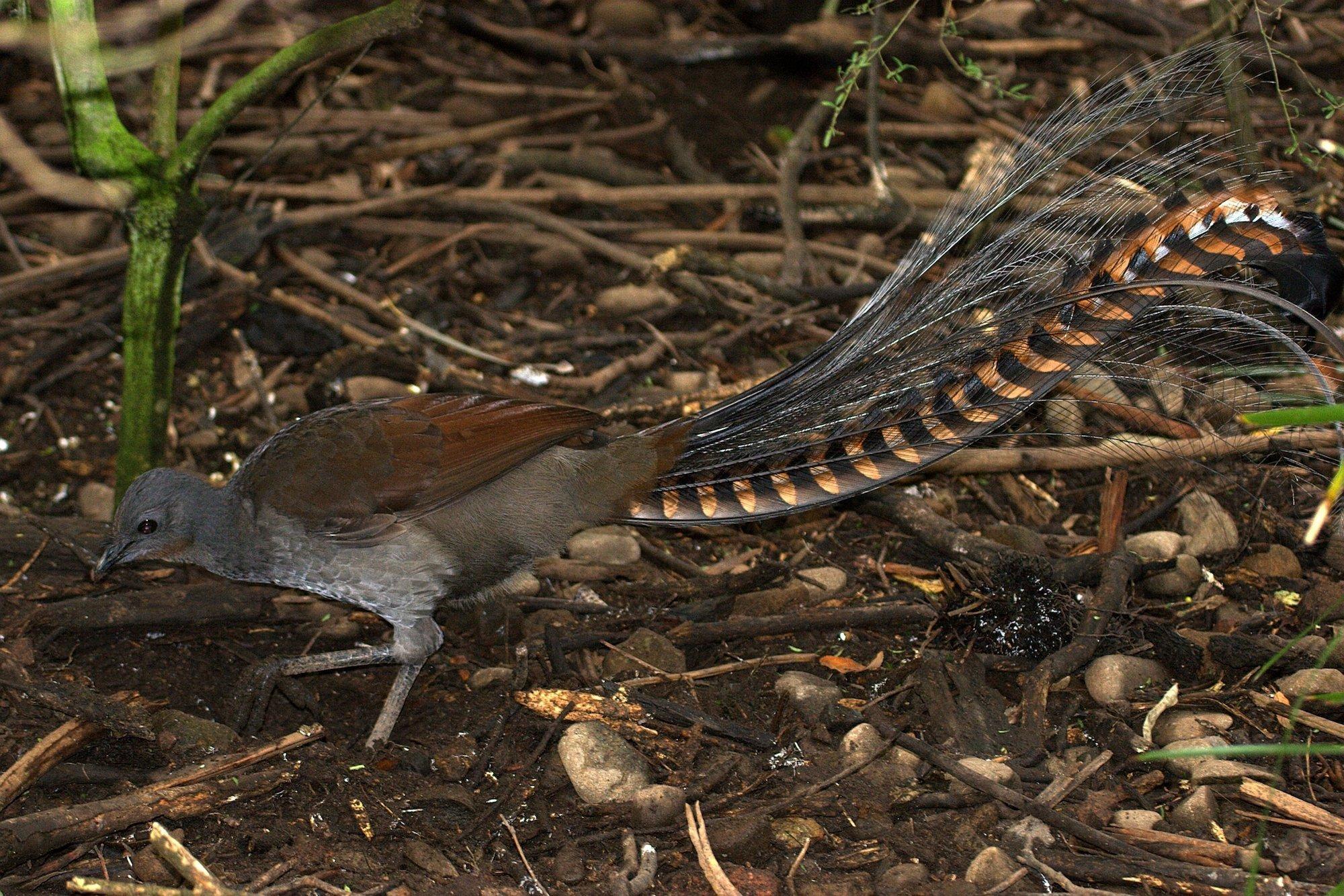 Aufnahme eines Graurücken-Leierschwanz (Menura novaehollandiae). Er steht auf Waldboden.