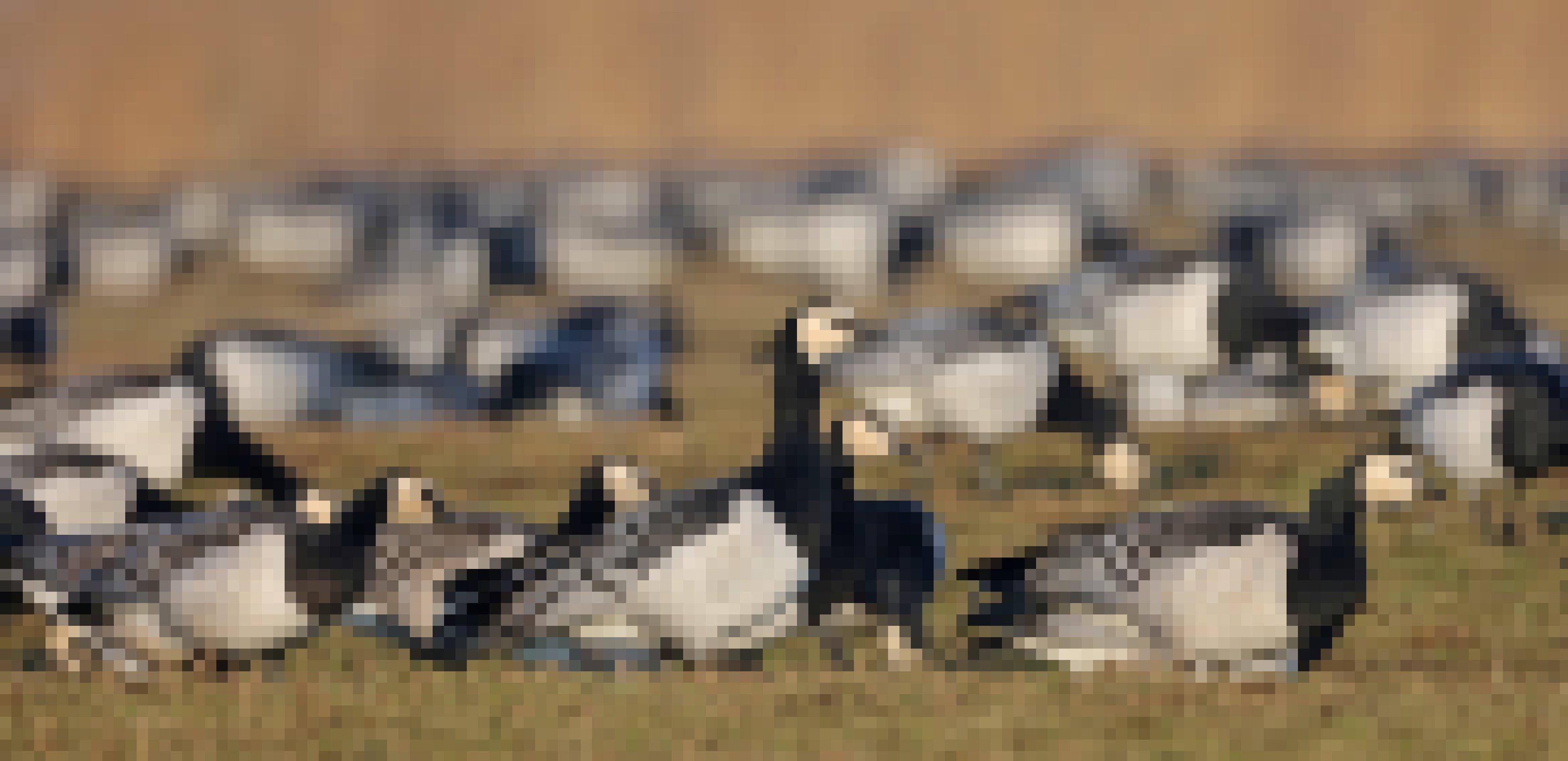 Eine Gruppe von Weißwangengänsen in einer Wiese.