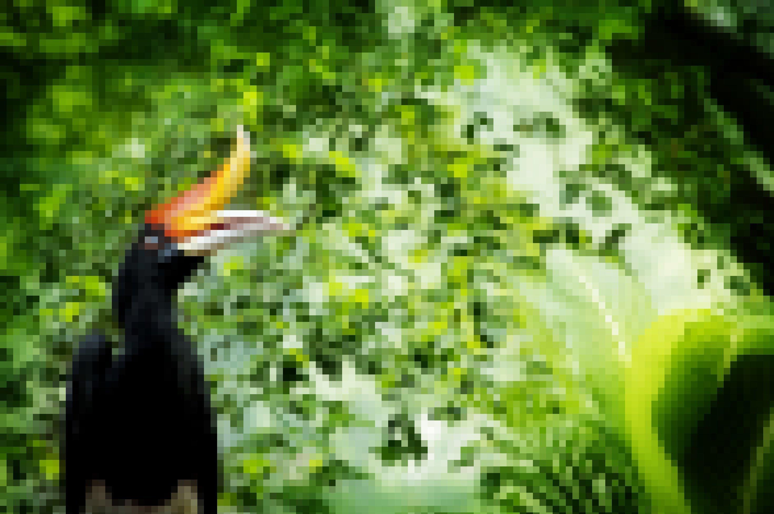 Hornvogel im Wald, das Tier hat einen riesigen Schnabel