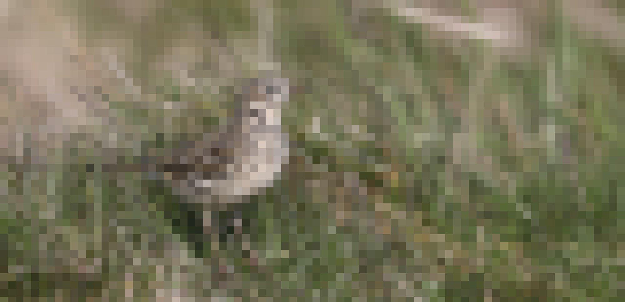 Ein Wiesenpieper auf dem Boden
