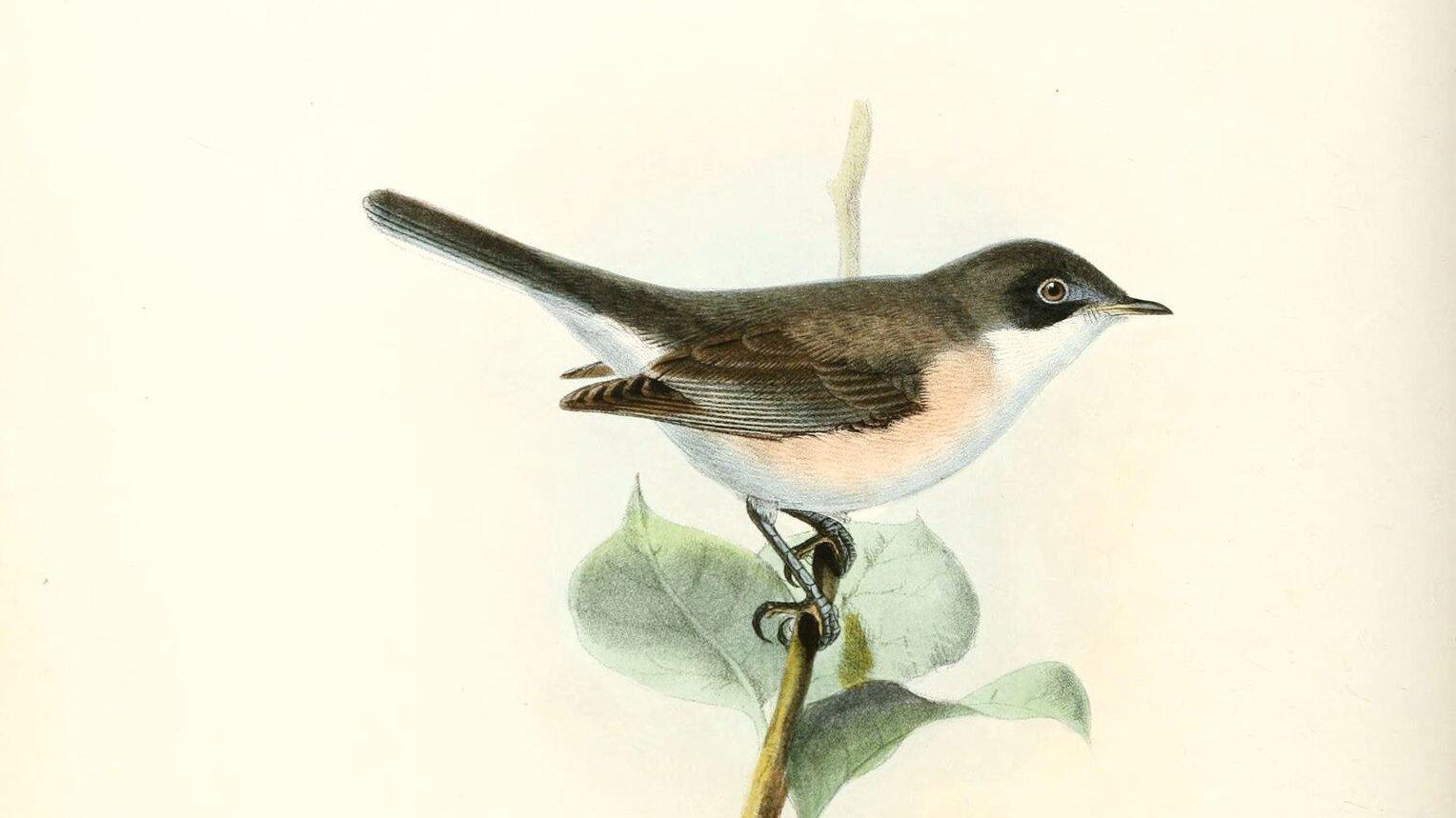 Zeichnung einer Klappergrasmücke