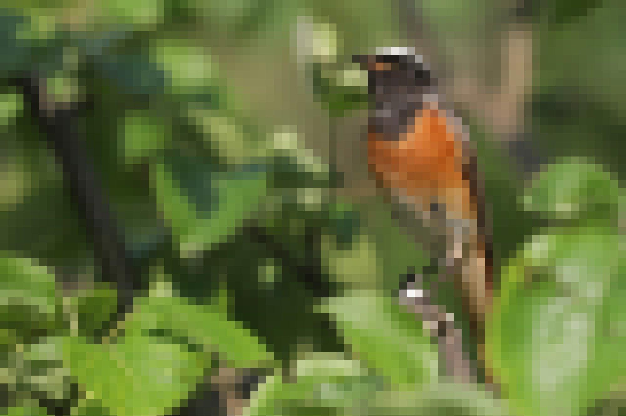 Ein Vogel mit grau-weißer Stirn, schwarzem Gesicht und Hals, rostbrauner Brust und hellgrauem Steiß sitzt auf einem Ast.
