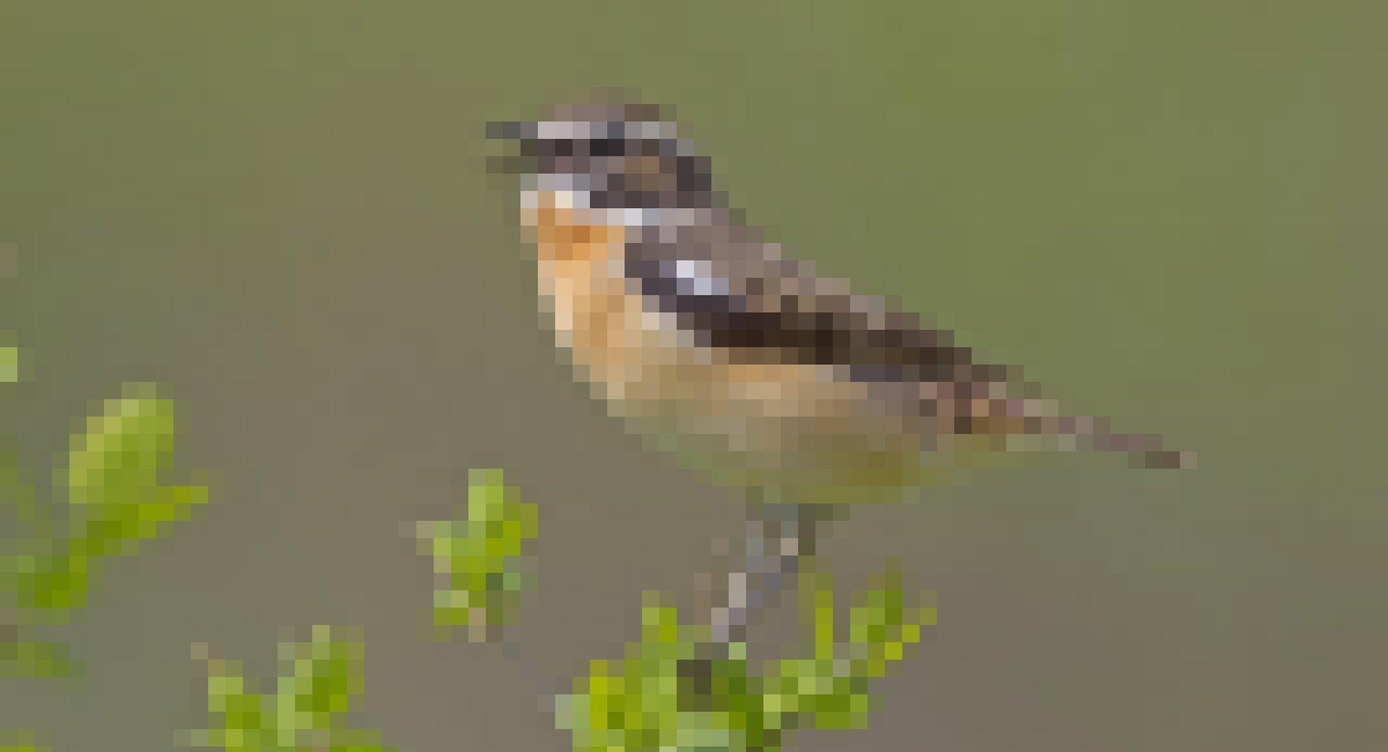 Ein männliches Braunkehlchen singt auf einem grünen Zweig