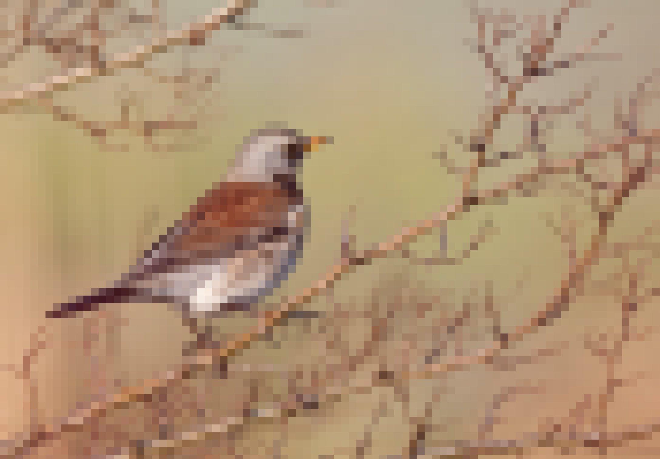 Ein Vogel mit grauem Kopf, gelbem Schnabel, braunen Flügeln und weißem Bauch mit braunen Schecken sitzt auf einem Zweig.