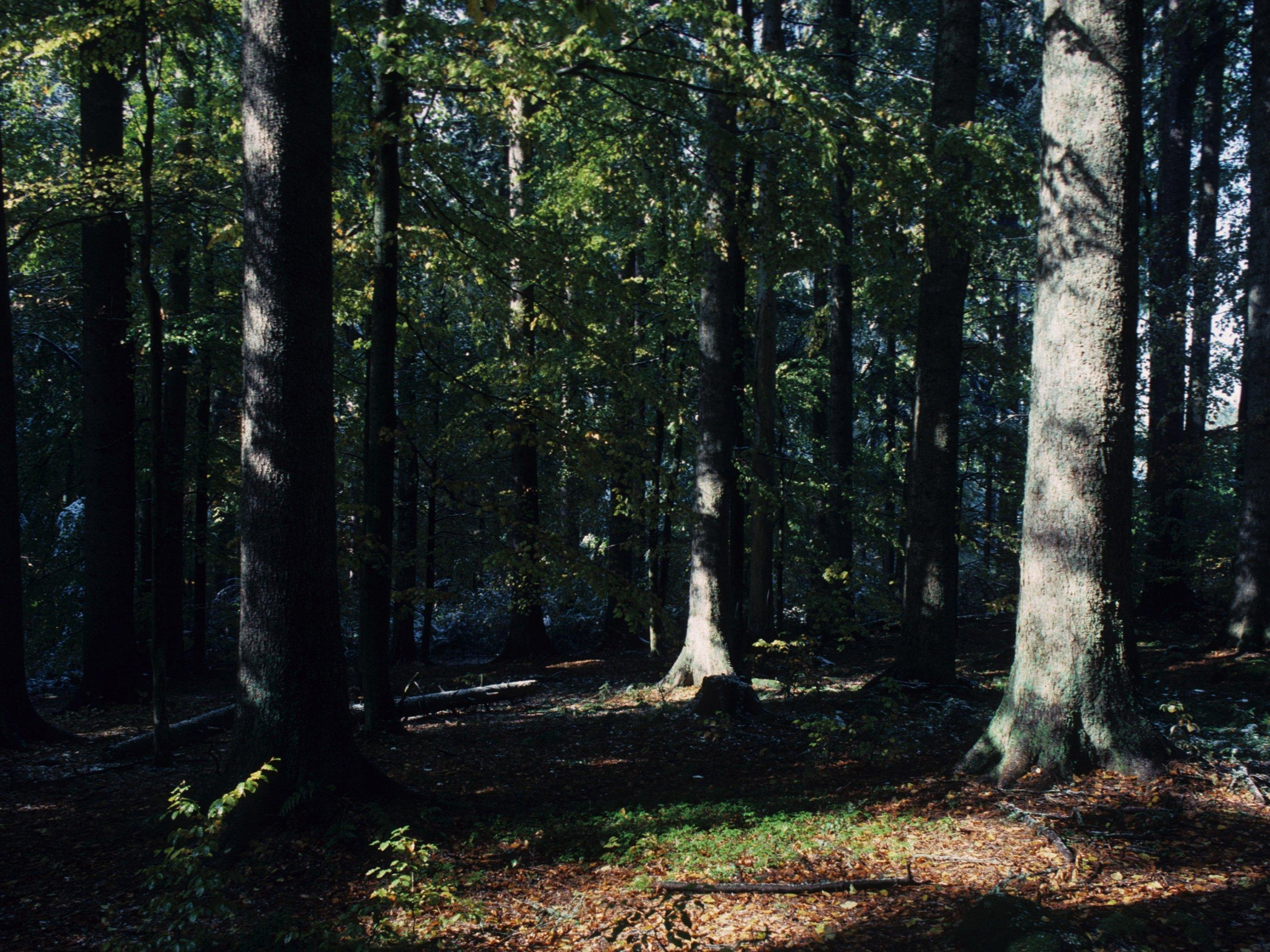 Ein Wald mit alten Bäumen.