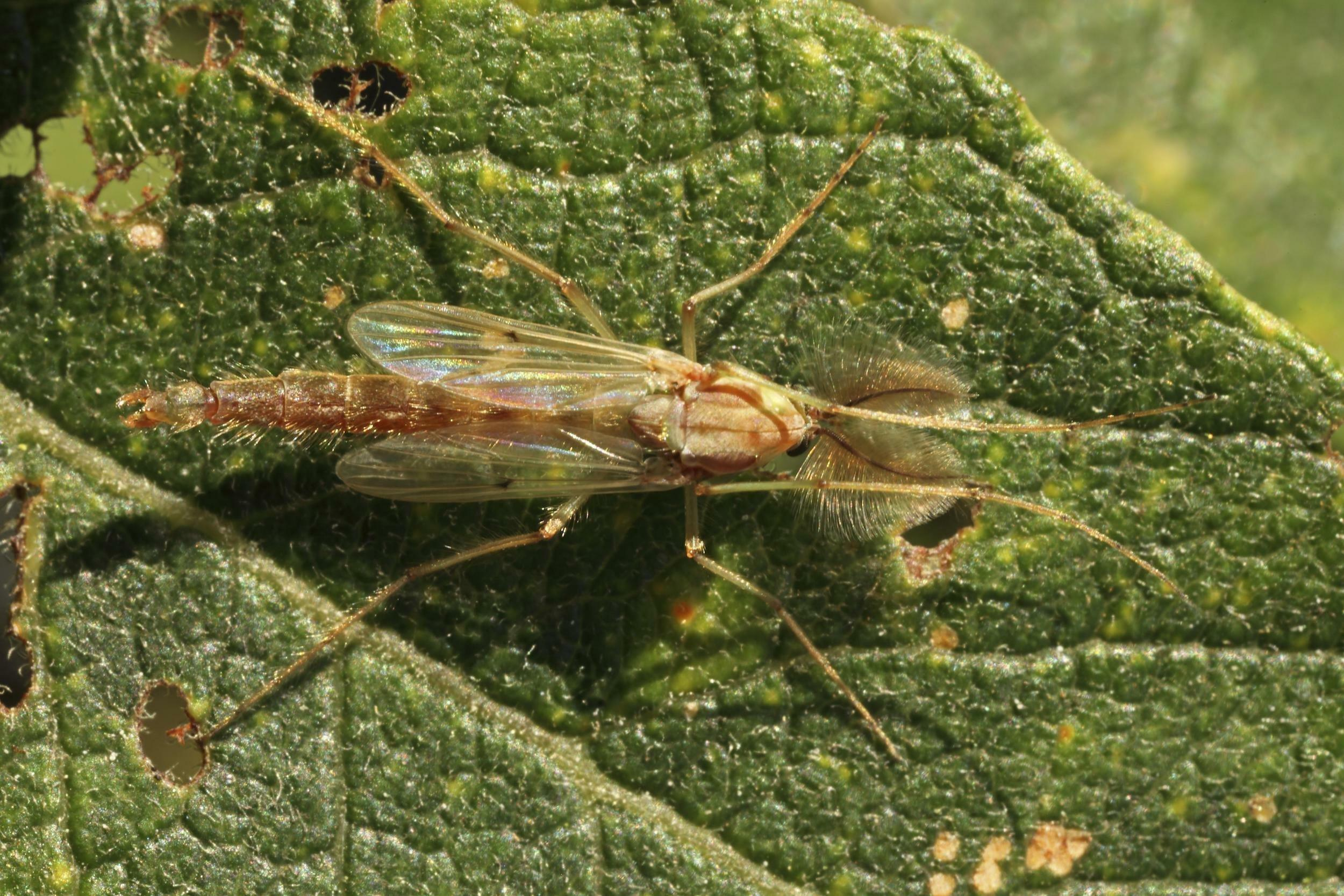 Eine Zuckmücke (Chironomus plumosus) sitzt auf einem Blatt.