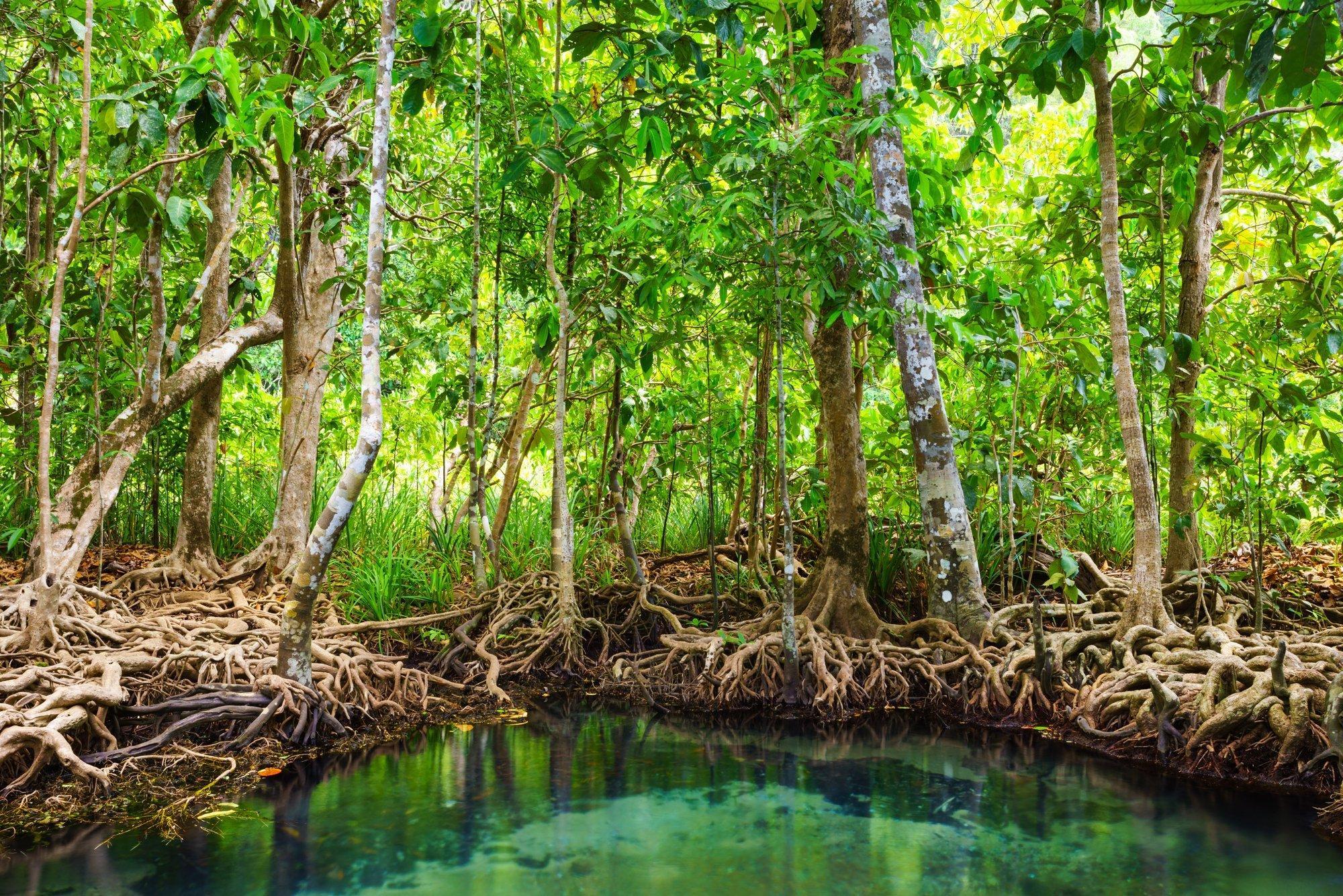 Mangrovenwald in Thailand, die Bäume stehen auf Stelzenwurzeln im Wasser