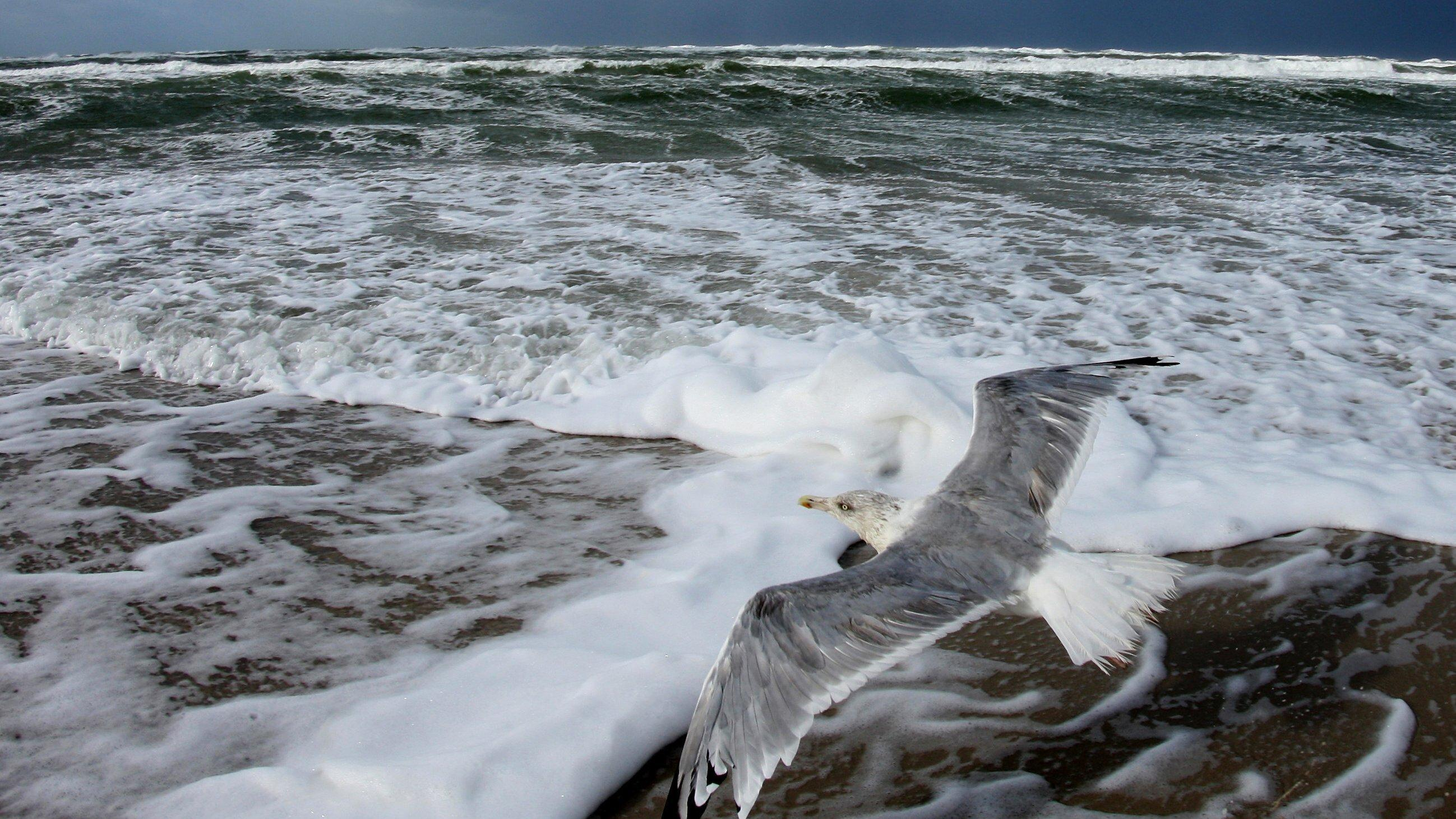 Eine Silbermöwe fliegt dich über dem Boden an der Wasserkante eines Strandes entlang.