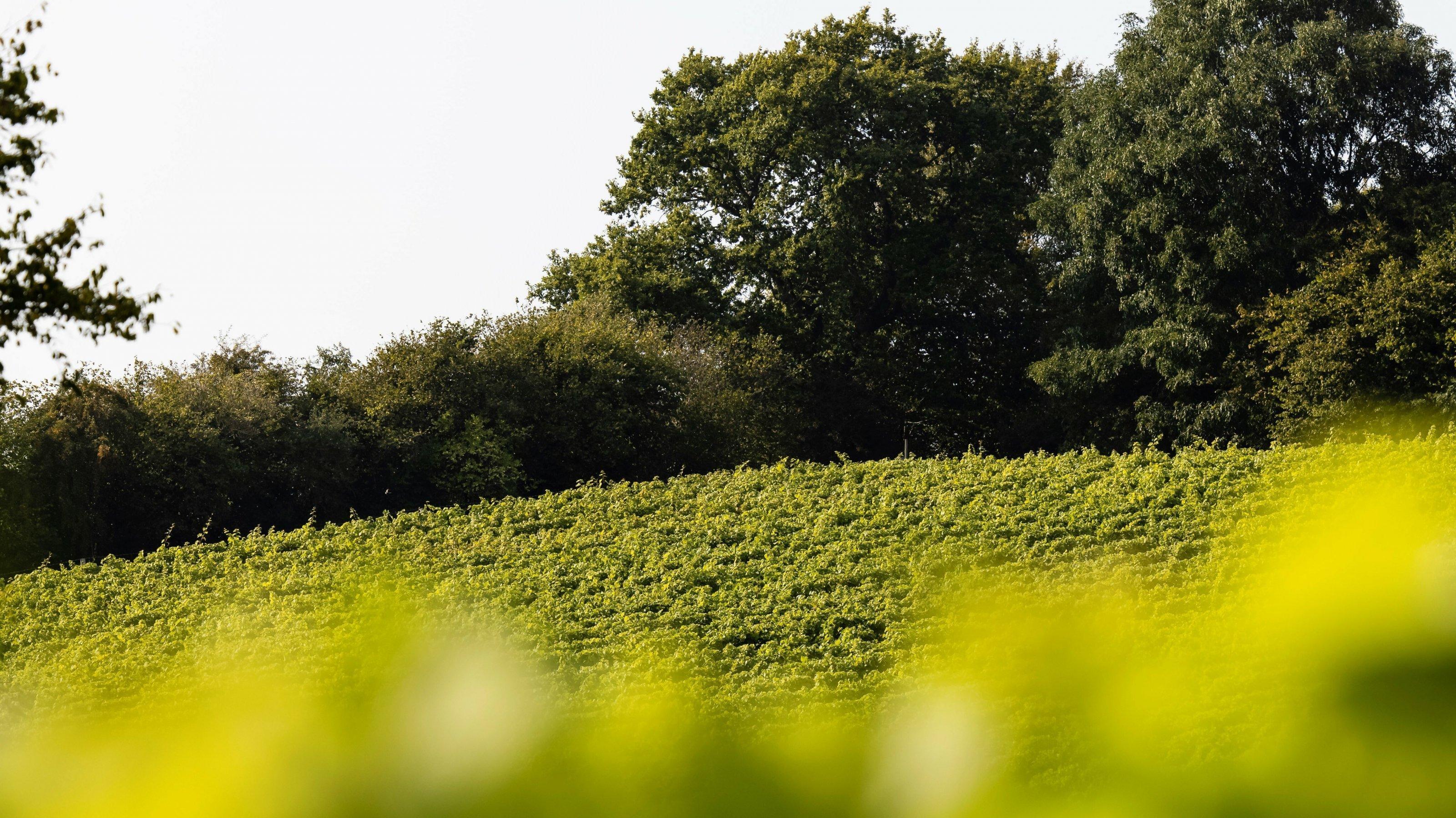 Von fern herangezoomter, sattgrüner Weinberg, umstanden von Bäumen.