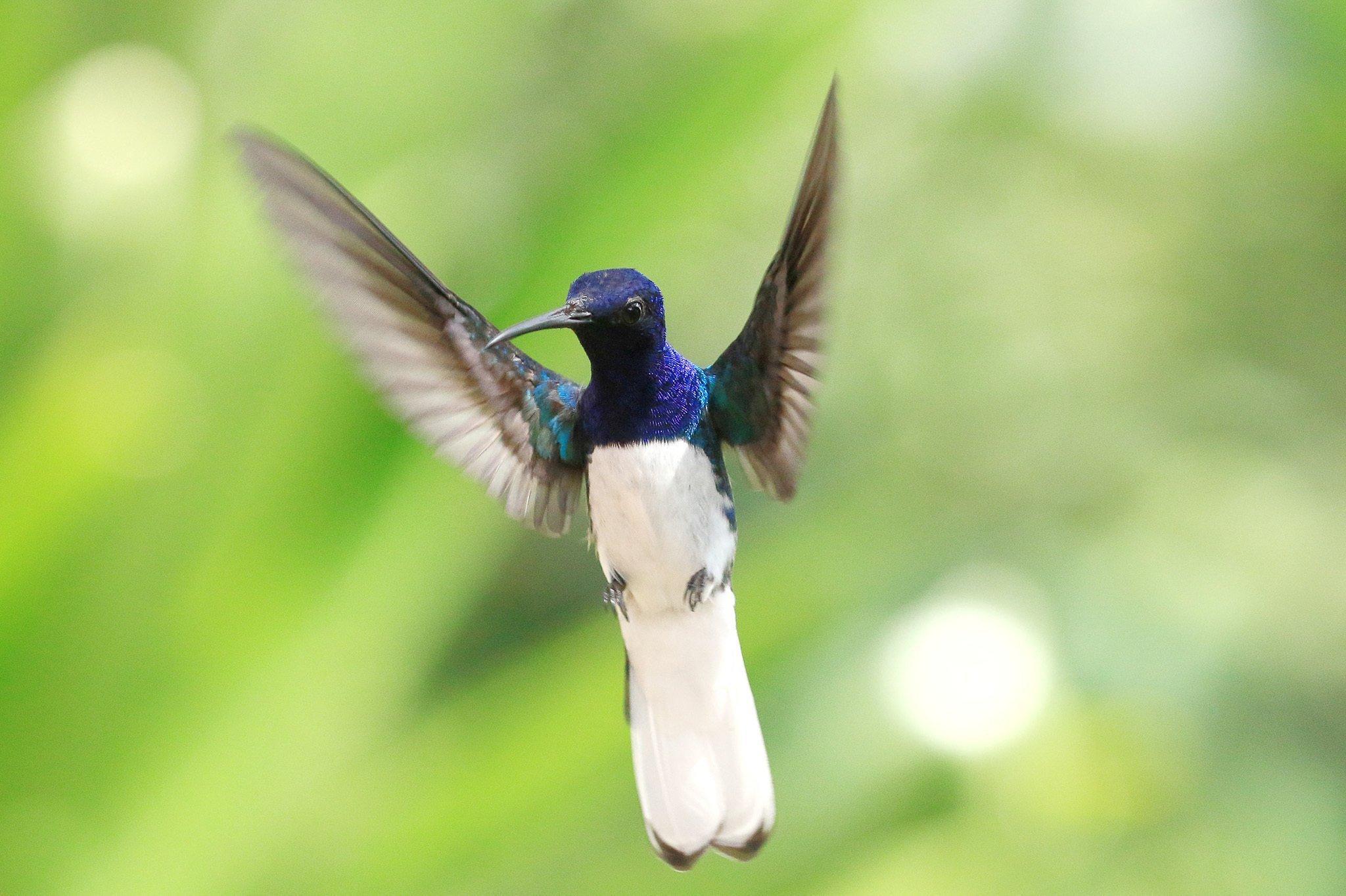Ein Vogel mit langem Schnabel, dunkelblau glänzendem Kopf, schwarz-blauen Flügeln und weißem Bauch und Schwanzgefieder im Flug.