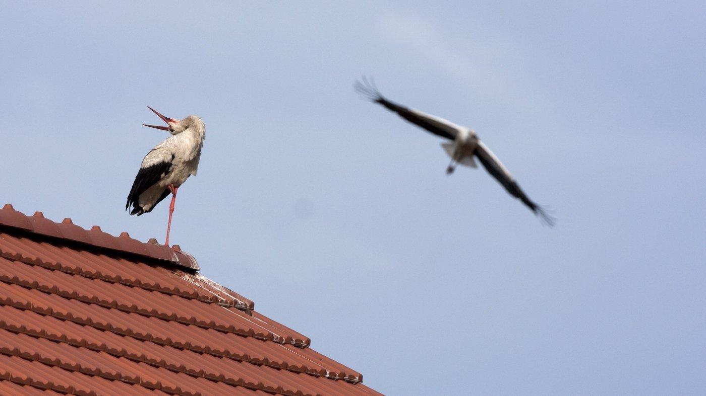 Weißstorchmännchen sitzt auf dem Dach und legt den Kopf zum Balzen nach hinten, das Weibchen ist schon im Anflug.
