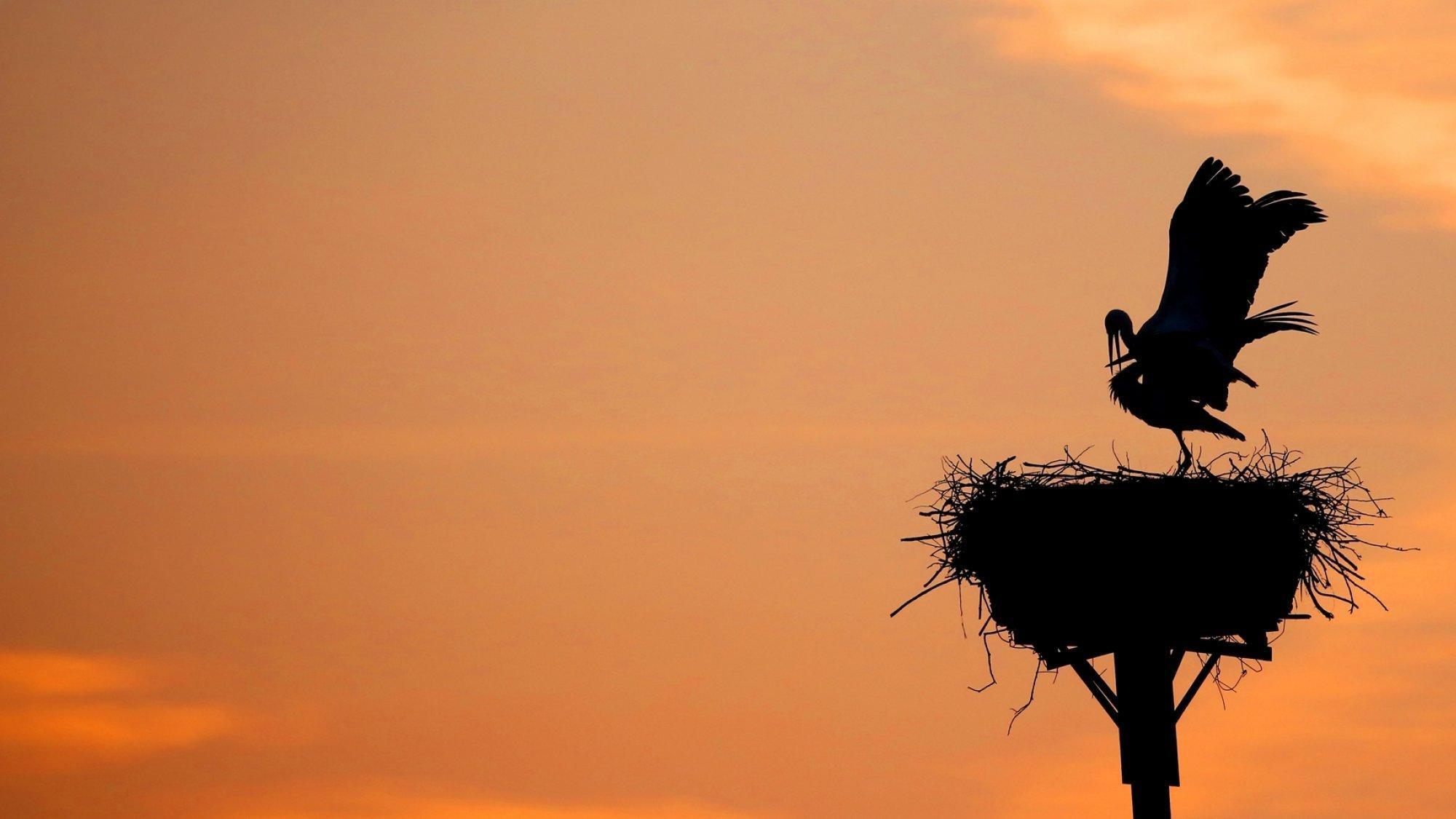 Ein Waldstorch sitzt in Nest und breitet seine Flügel aus.