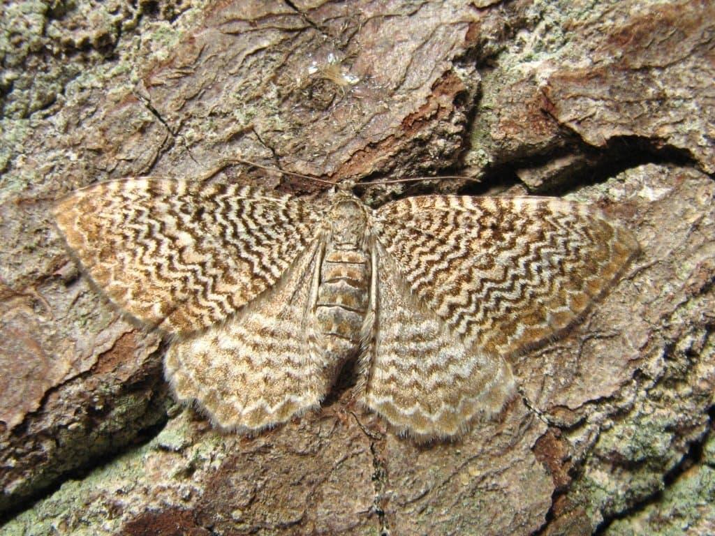 Das Muster des Wellenspanner Schmetterlings erinnert entfernt an die Kreationen eines bekannten italienischen Strickwarenherstellers.