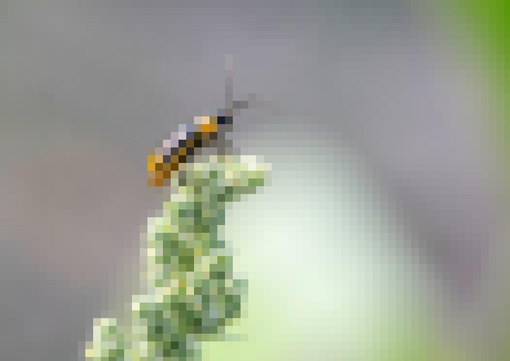 Ein länglicher gelber Käfer mit dunkelbraunem Kopf, langen Fühlern und dunkelbraunen Längsstreifen sitzt auf einer Maisblüte.
