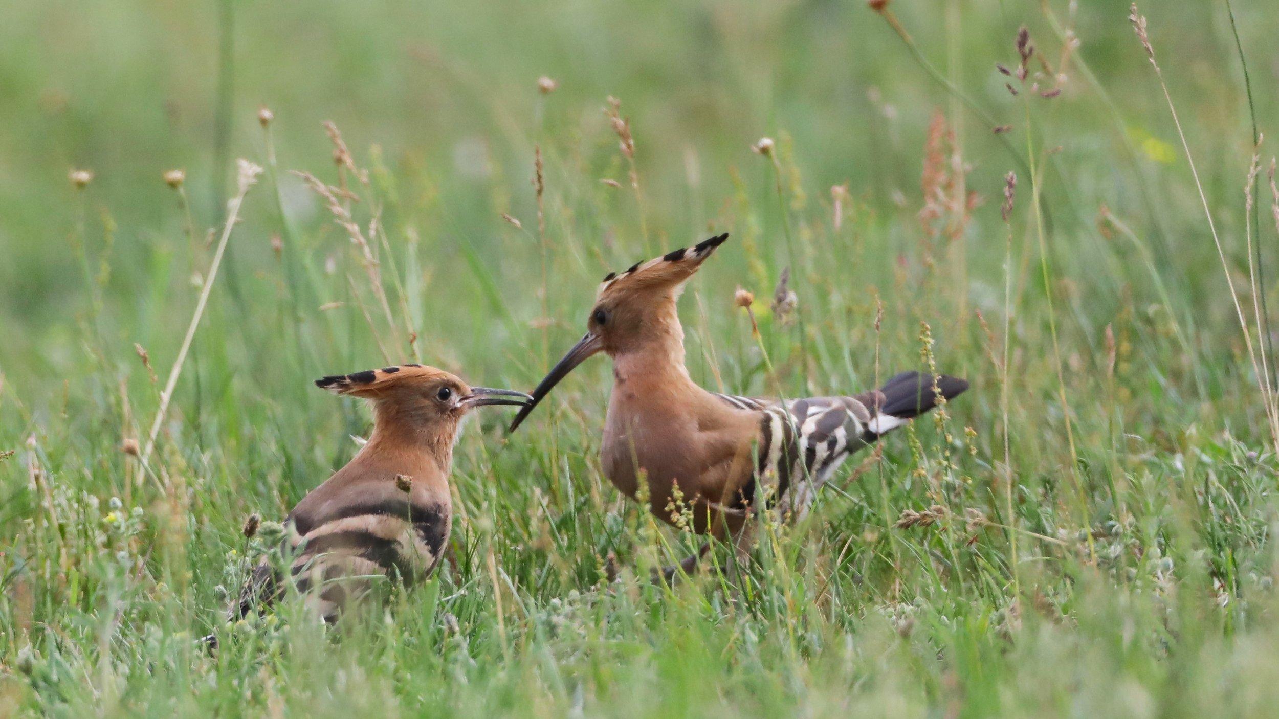 Wiedehopf: ein Jung- und ein Altvogel sitzgen im Gras.