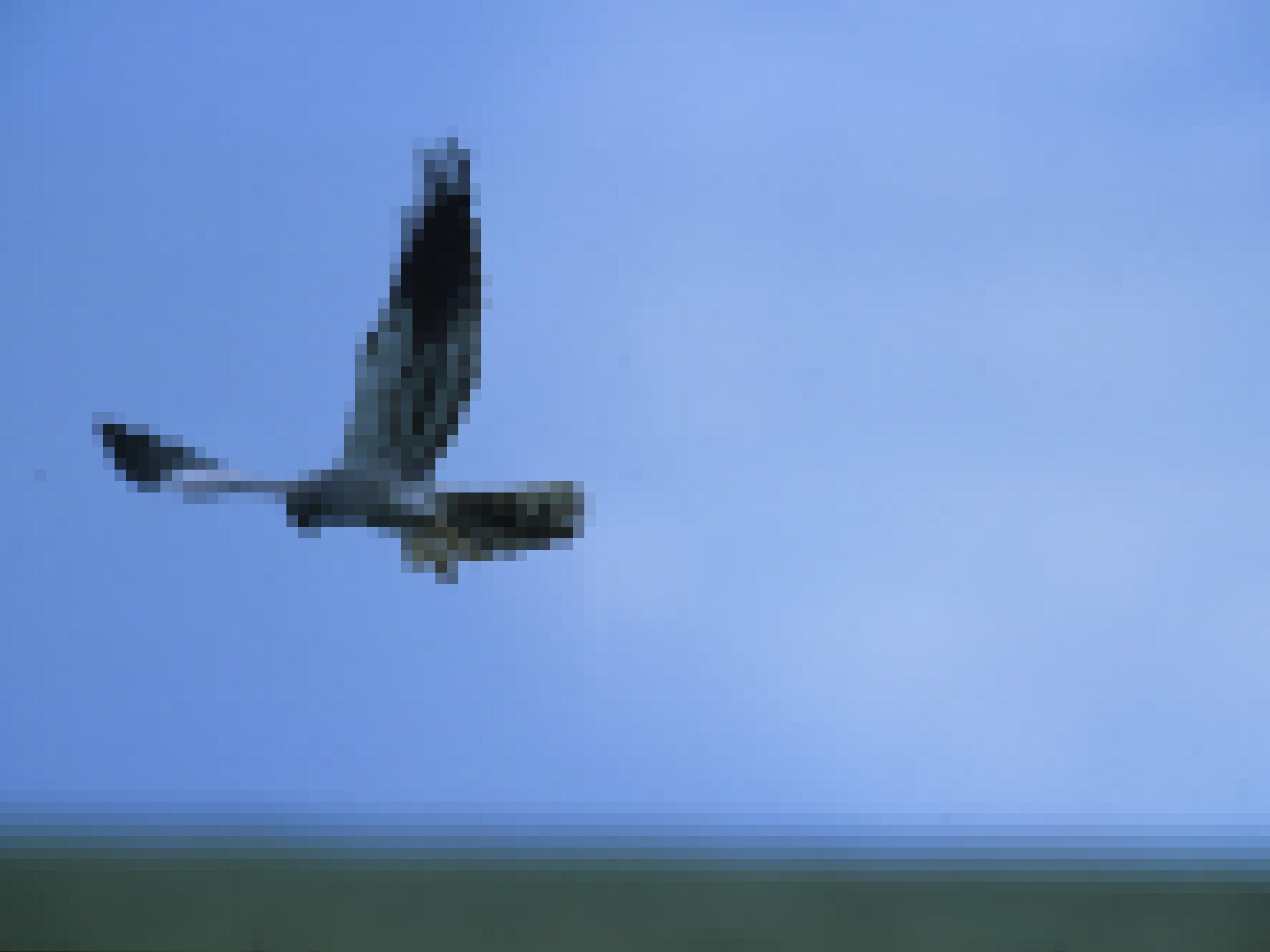 Eine Wiesenweihe rüttelt über einer Wiese, auf der Suche nach Nahrung.