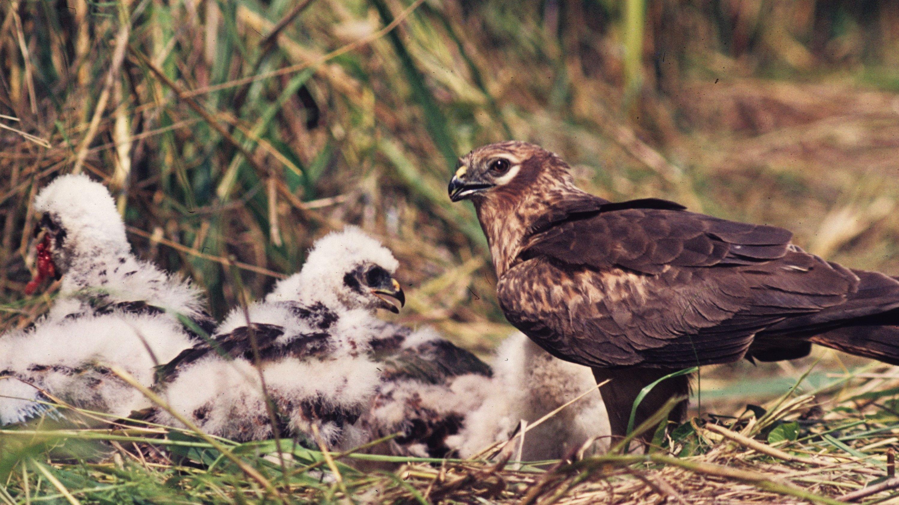 Man sieht eine Wiesenweihe am Gelege, das sich am Boden in einer Wiese befindet. Im Nest mehrere flauschige Jungvögel.