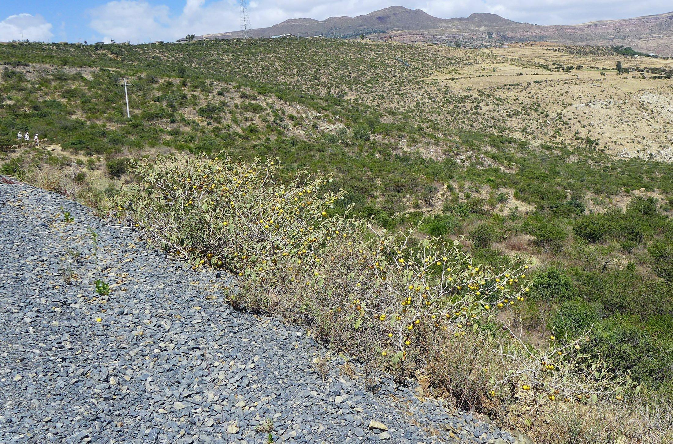 Eine niedrige, stachelige strauchige Pflanze wächst im Schotter am Straßenrand in einer trockenen, gebirgigen Landschaft. Sie trägt gelbe Früchte, die an Tomaten erinnern.