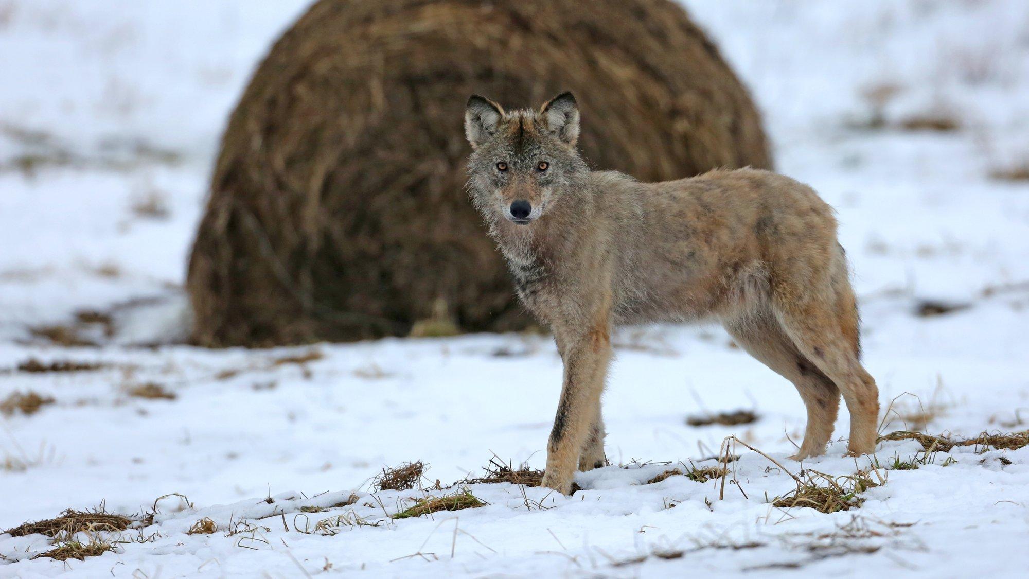 Ein wenige Monate alter Jungwolf auf einer noch schneebedeckten Wiese