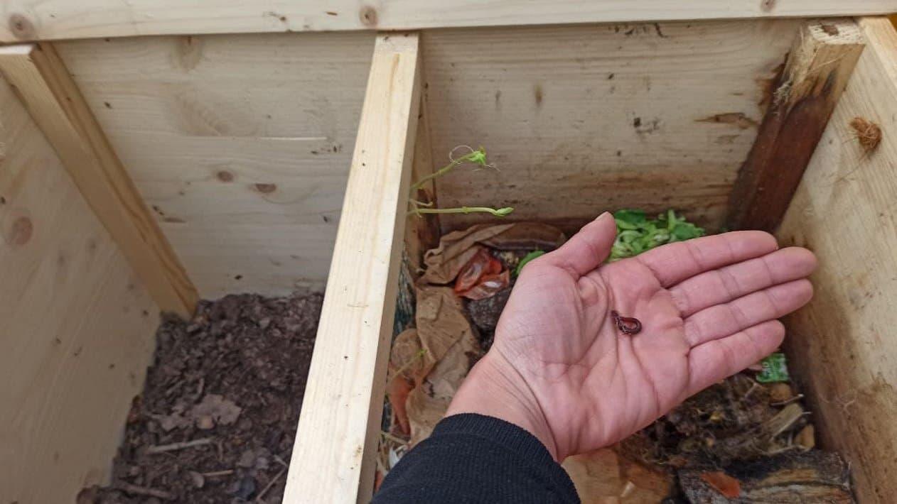 Blick in eine Holzkiste mit zwei Abteilen, eins mit Humus, eins mit frischen Küchenabfällen. Eine Hand hält einen rotbraunen Wurm.